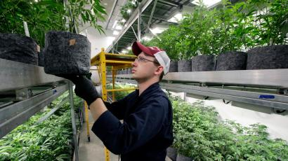 Head grower Mark Vlahos, of Milford, Mass., tends to cannabis plants, Thursday, July 12, 2018, at Sira Naturals medical marijuana cultivation facility, in Milford, Mass.