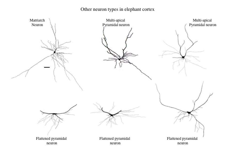 Elephant brain studies