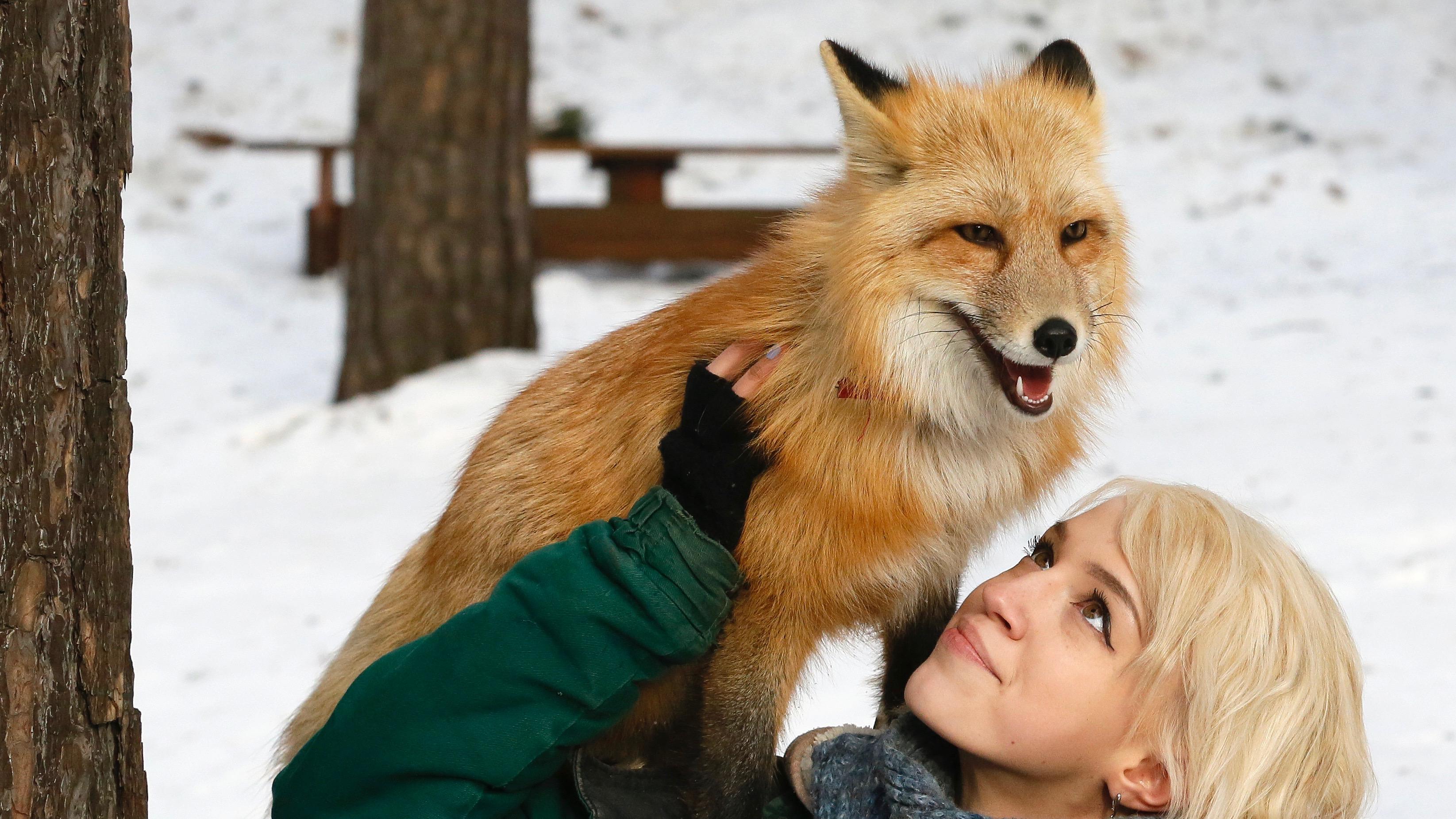 How To Tame A Fox According To Science Quartz
