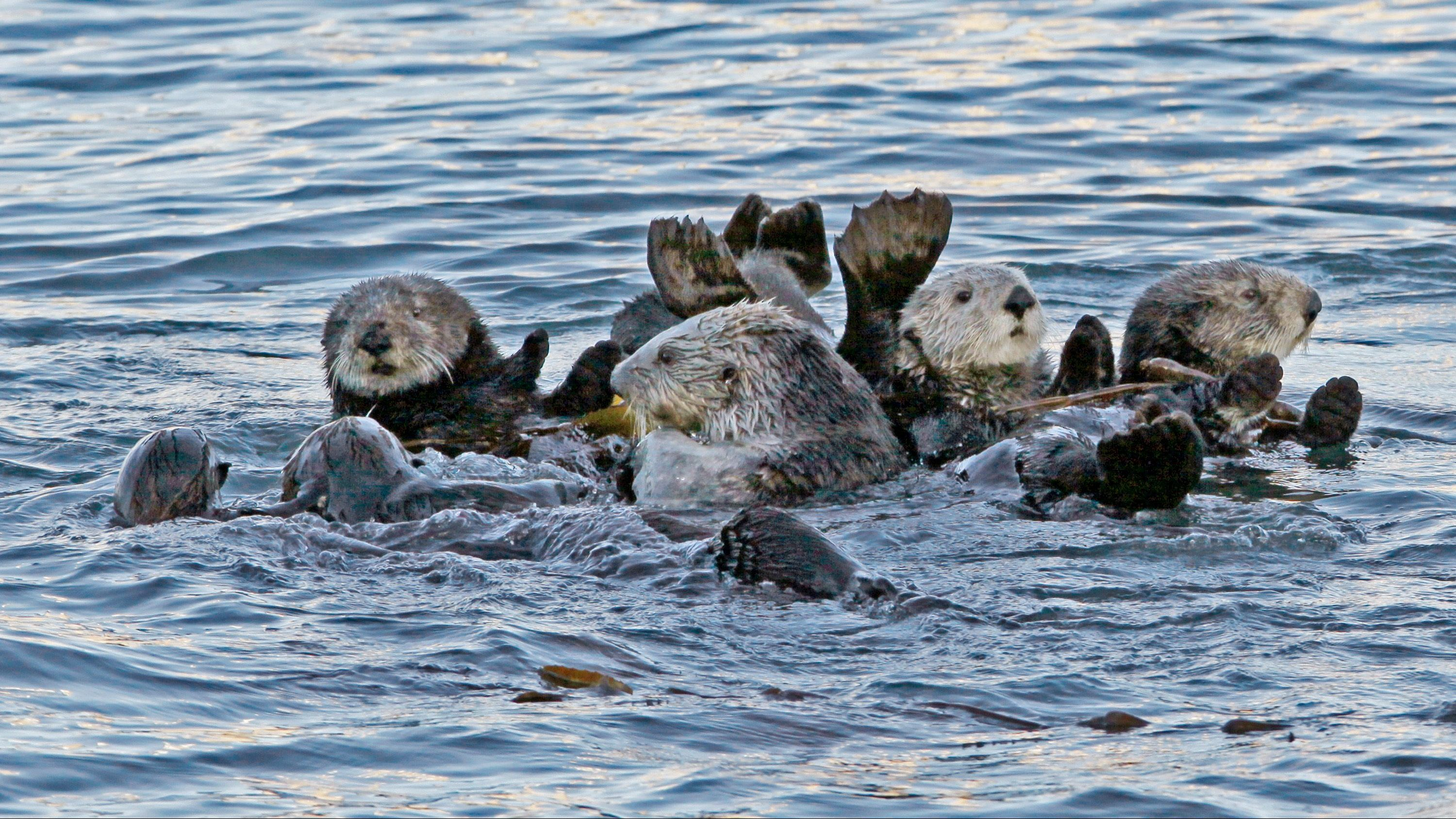 a raft of sea otters floating in the ocean.