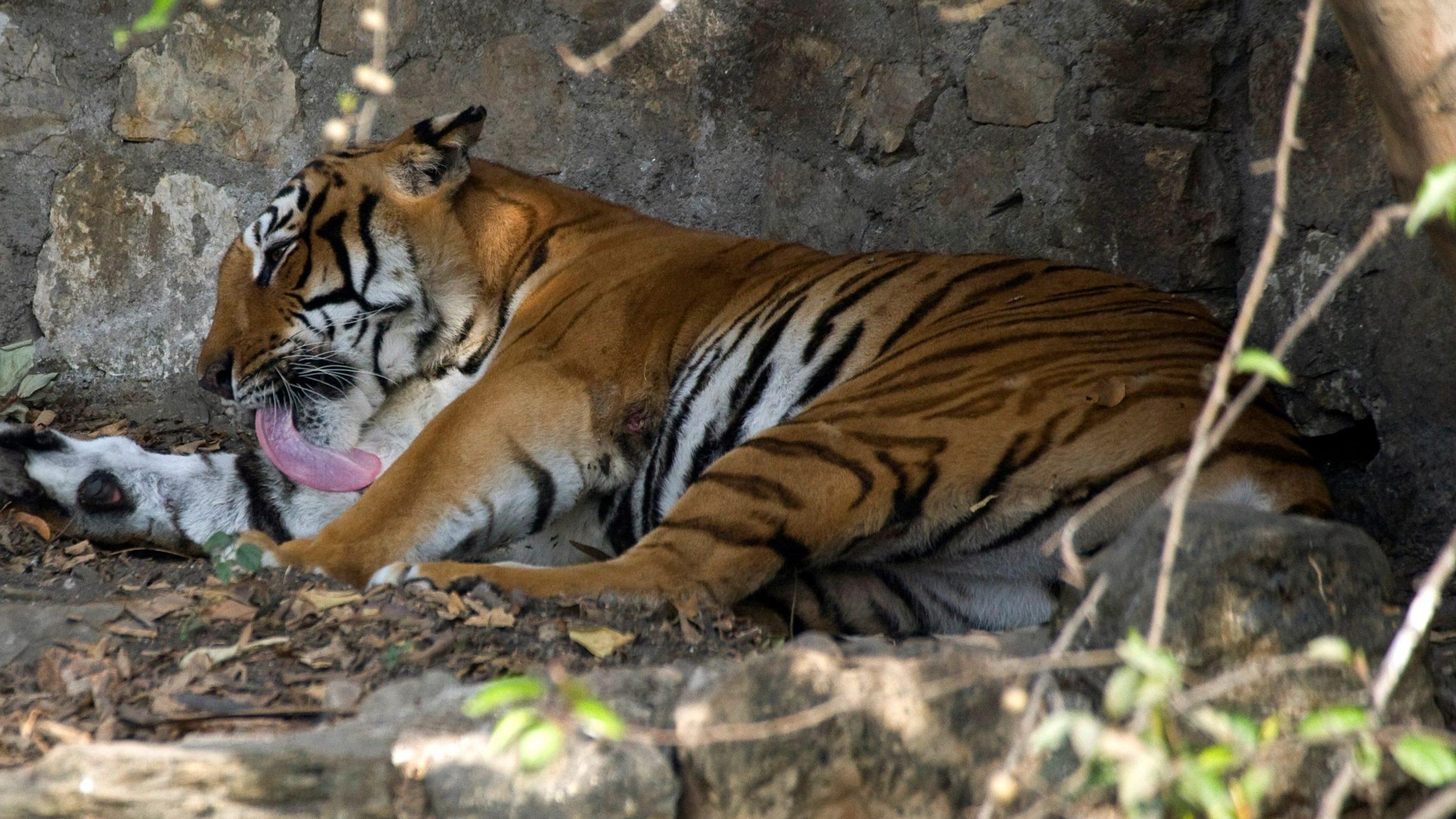 Nepal is set to double its wild tiger population — Quartz