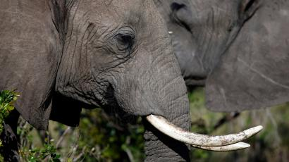 An elephant with its tusks.