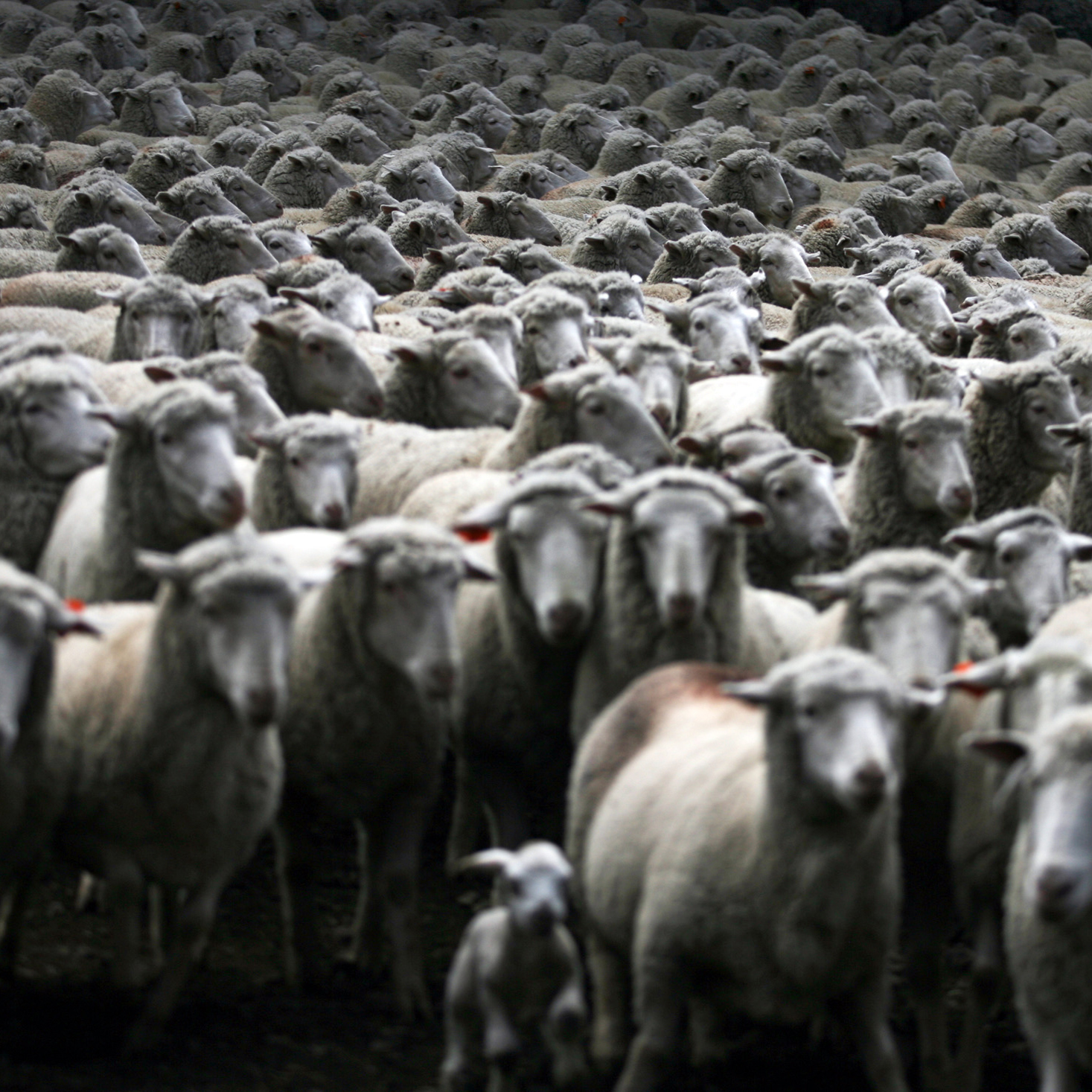 A flock of sheep are herded up.
