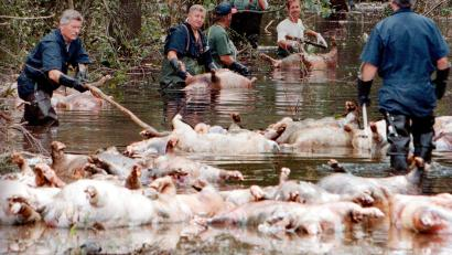 Hurricane Florence drowns 3 4 million poultry birds and