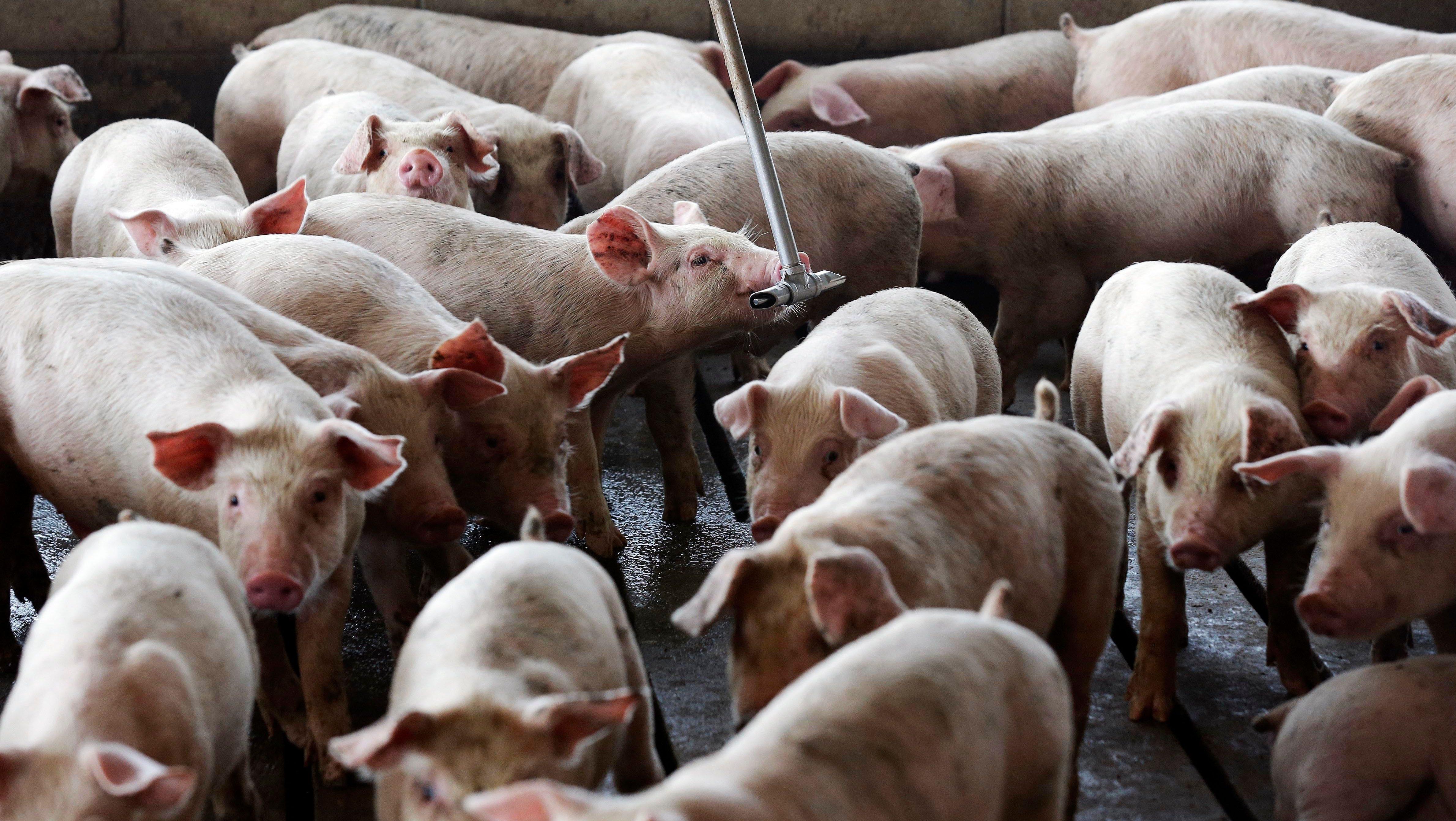 Pigs in a pen.