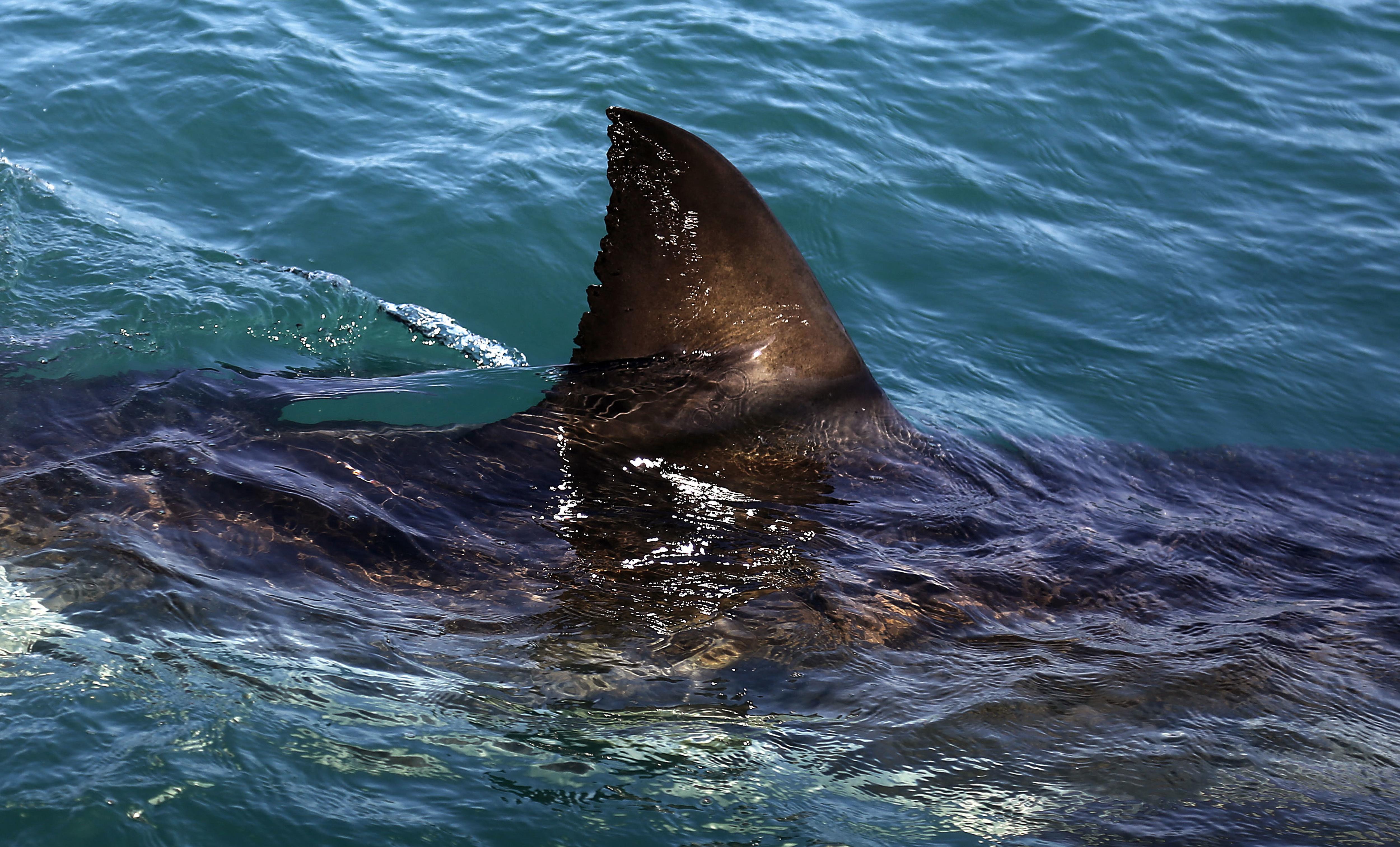 scientists reveal secret white shark cafe in pacific ocean quartz
