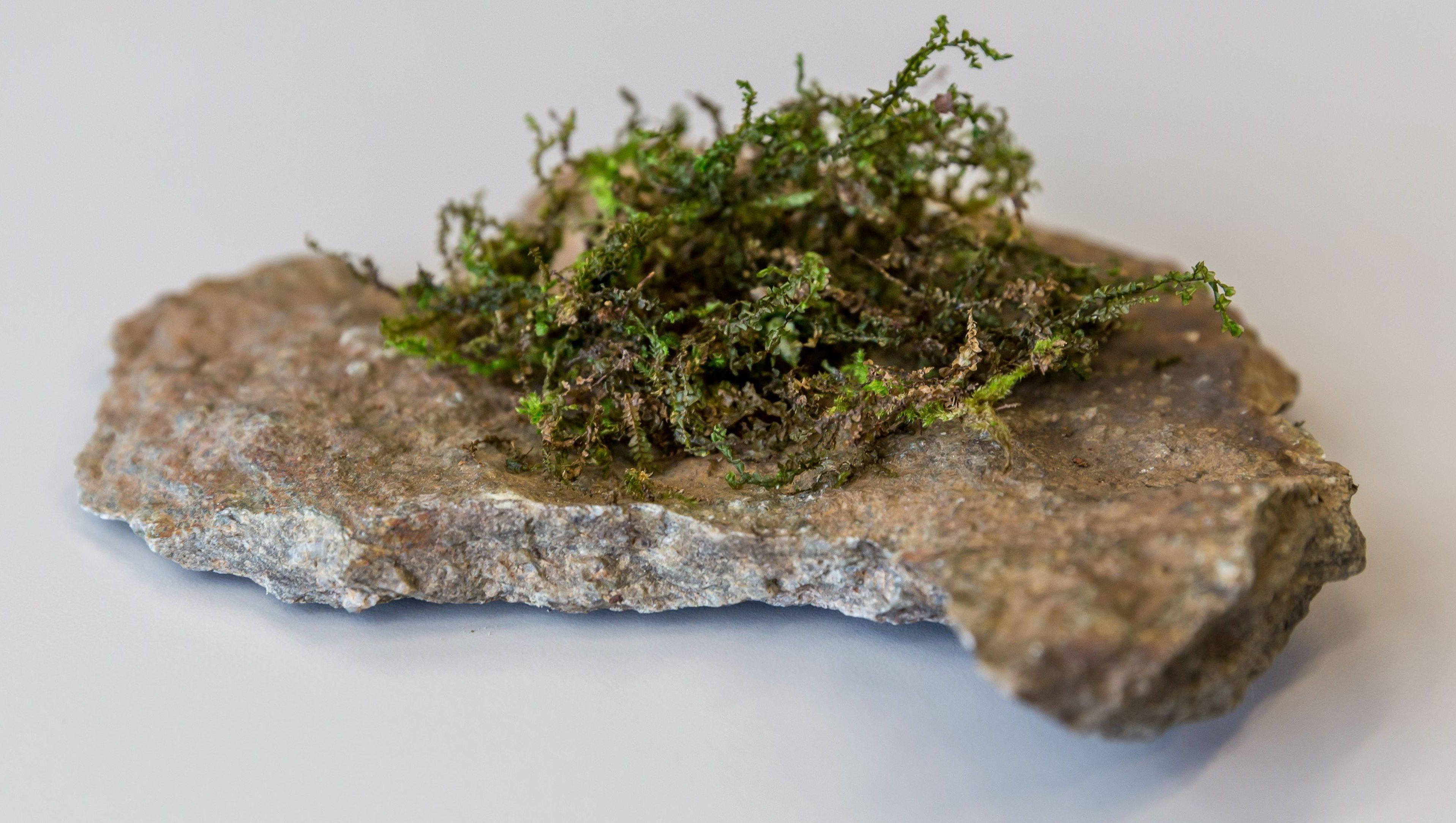 Liverwort growing on a rock.