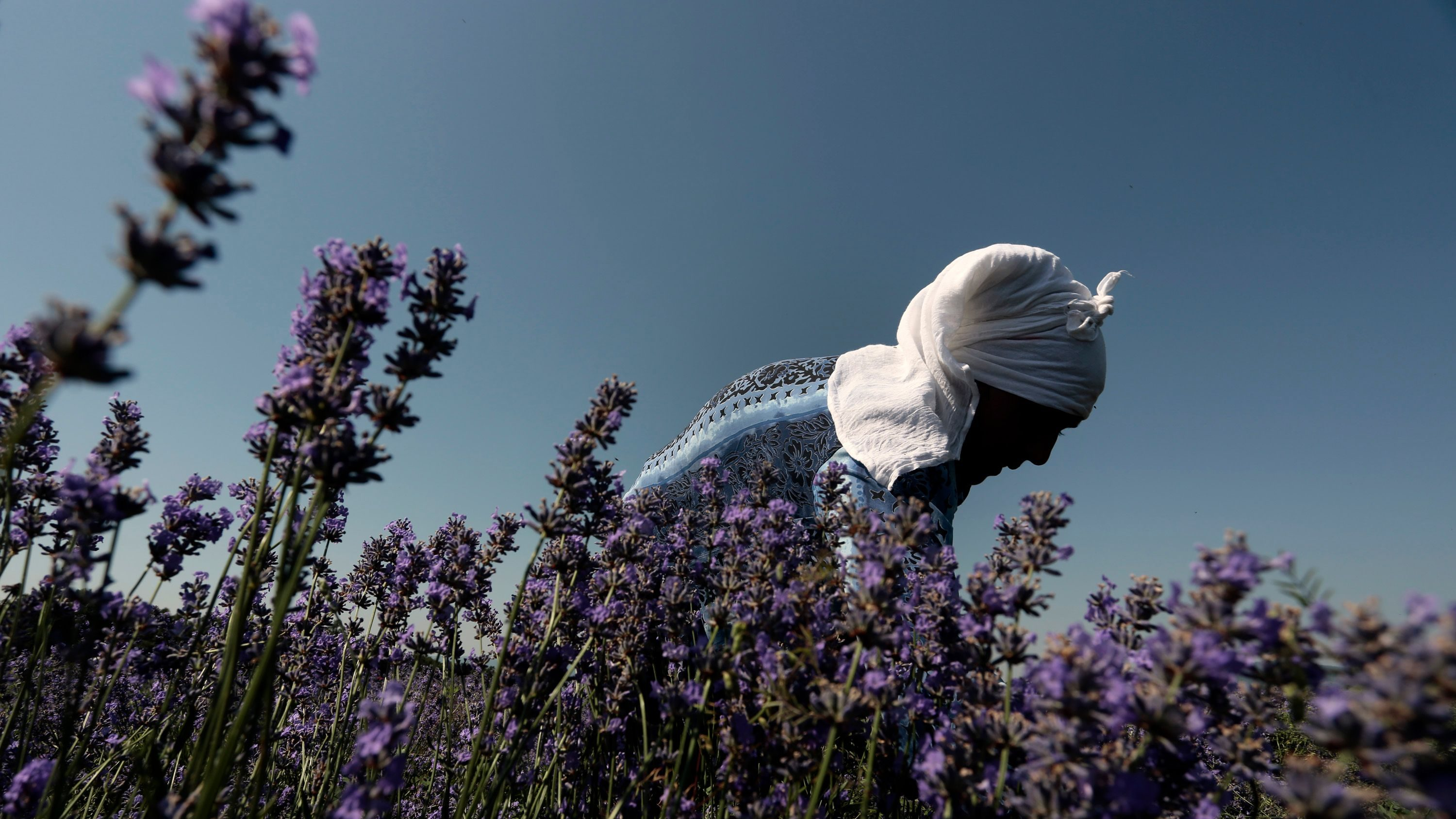 """In this July 6, 2014 photo, a worker reaps lavender flowers during harvest season near village of Tarnichane in Bulgaria's """"Rose valley"""", some 200 km (125 miles) east of the capital Sofia. In recent years Bulgarian production of lavender oil has increased meaning the country is now the largest producer in the world - even ahead of France. (AP Photo/Valentina Petrova)"""