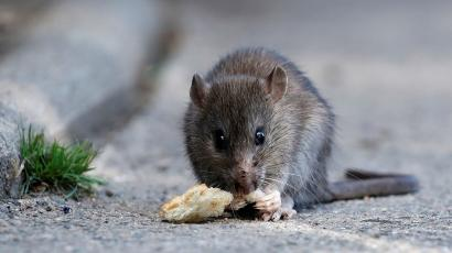 A rat eats pieces of bread thrown by tourists near the Pont-Neuf bridge over the river Seine in Paris, France, August 1, 2017.