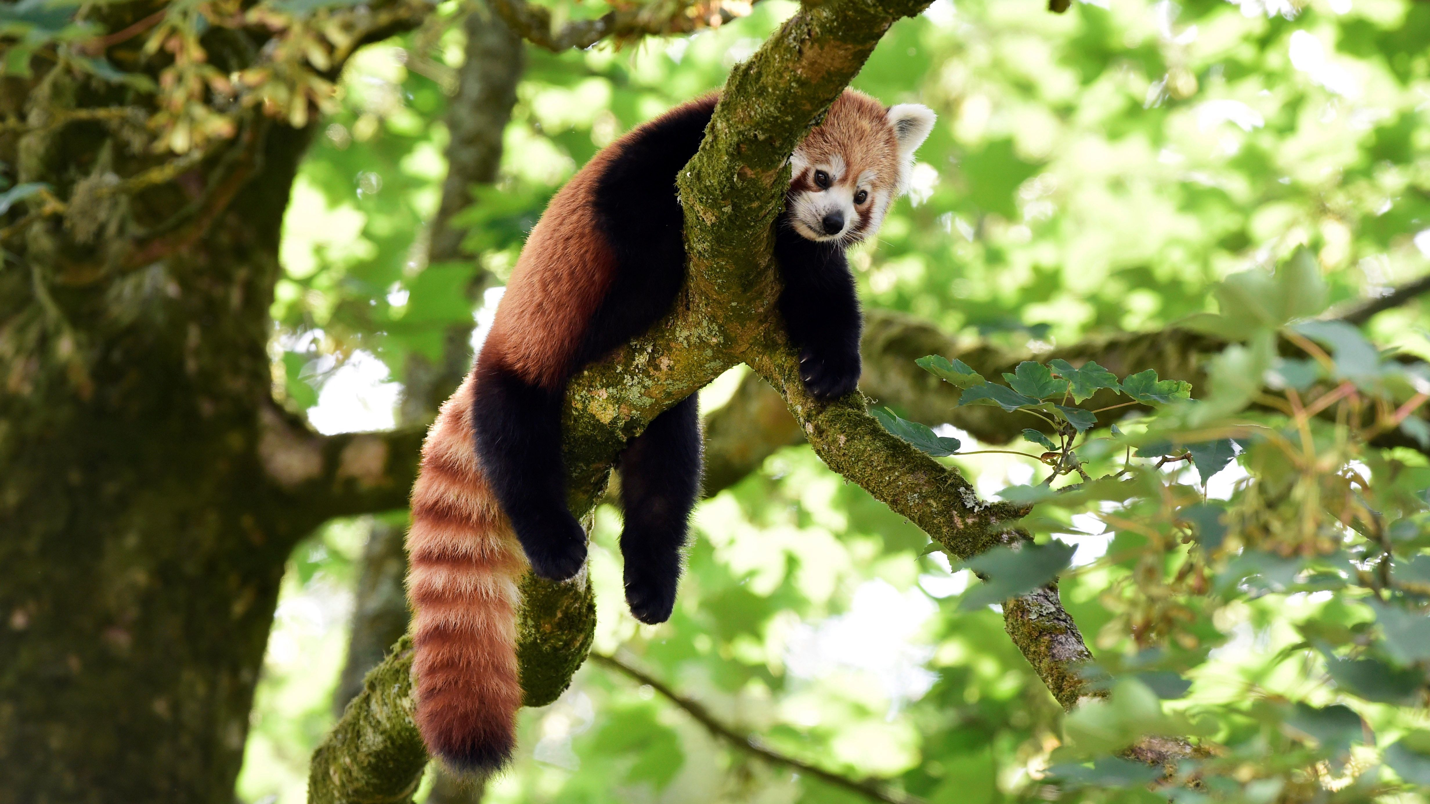 A red panda in a tree looking glum