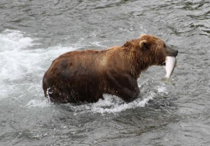 This photo taken July 4, 2013, in Katmai National Park and Preserve, Alaska, shows a brown bear walking to a sandbar to eat a salmon it had just caught at Brooks Falls.