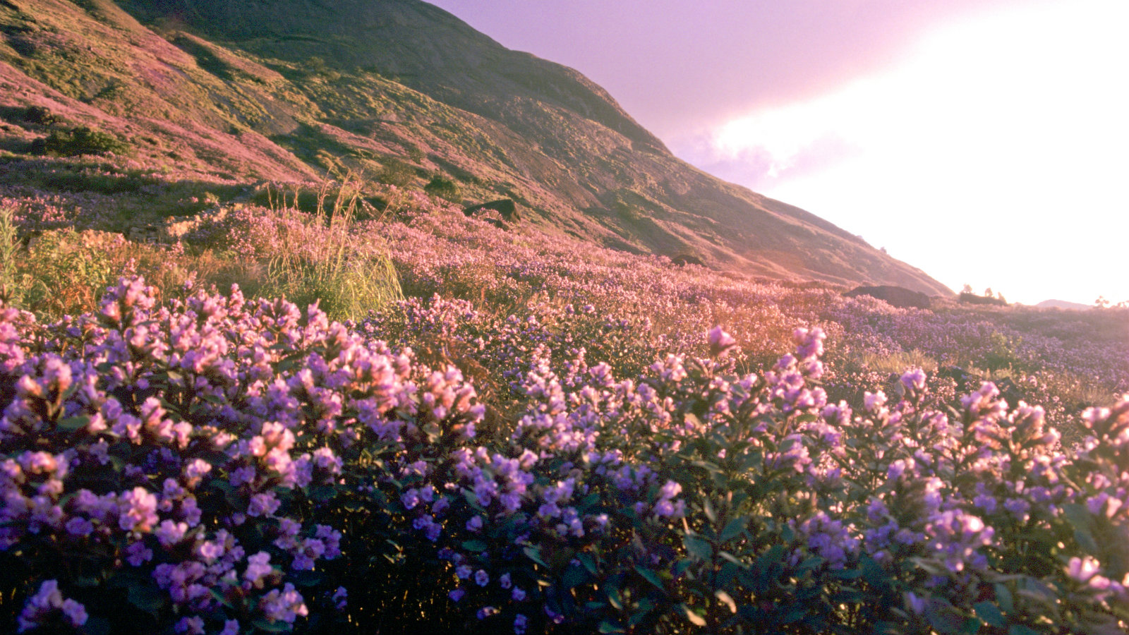 A rare flower that blooms every 12 years is sweeping the hills in southern India