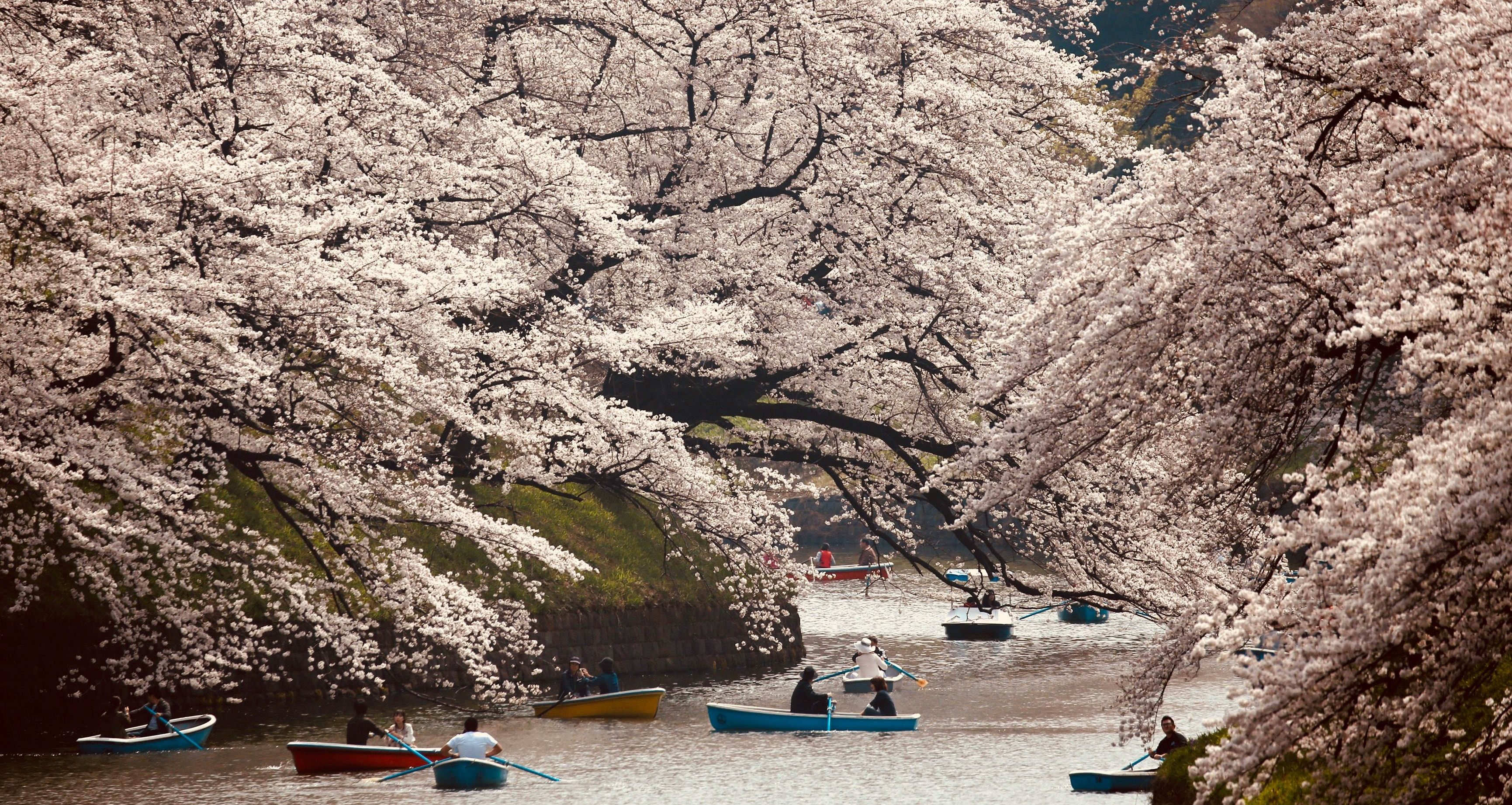 Japan's cherry blossoms blooming in fall after extreme