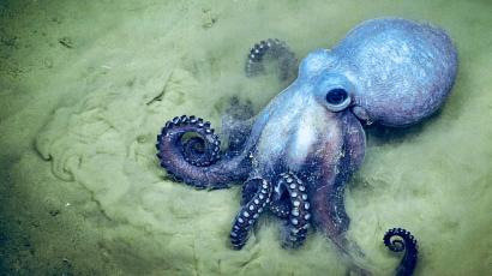 Octopus underwater.