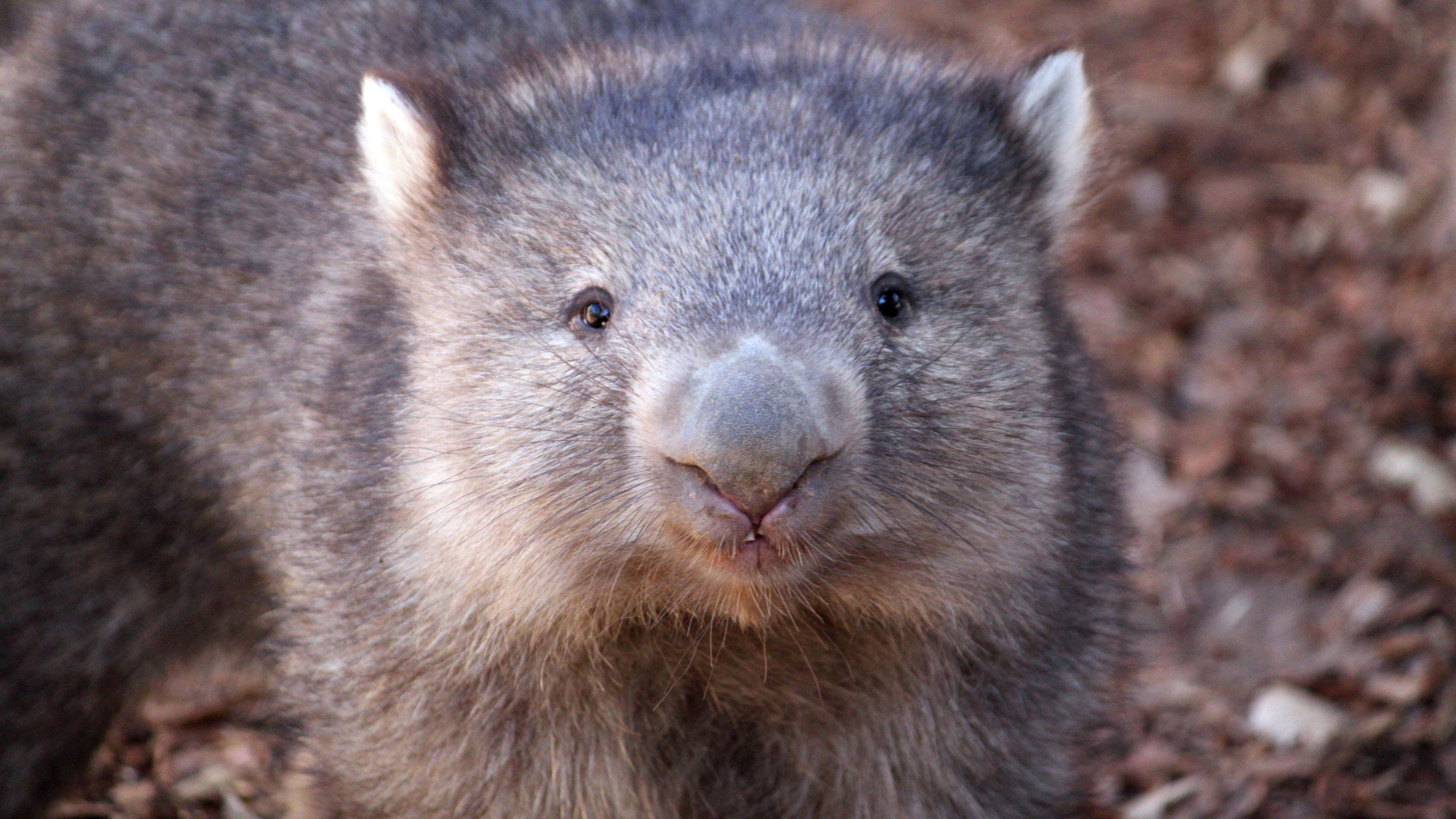 Wombat-cubed-poop