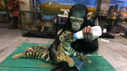 A baby chimp feeds a tiger