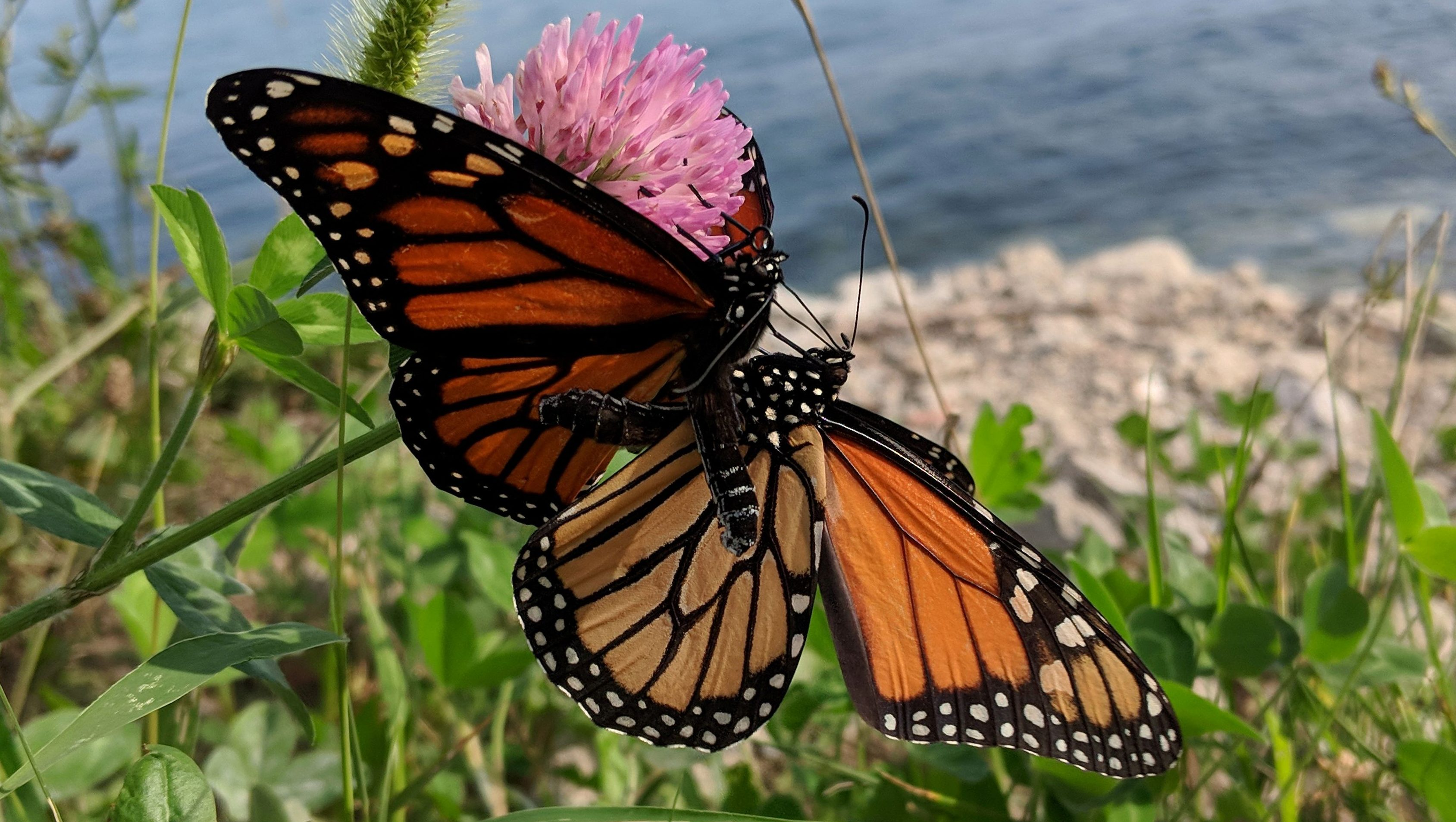 Last Monarch Of Season >> Monarch Populations In The Us West Are Down 86 This Year Quartz