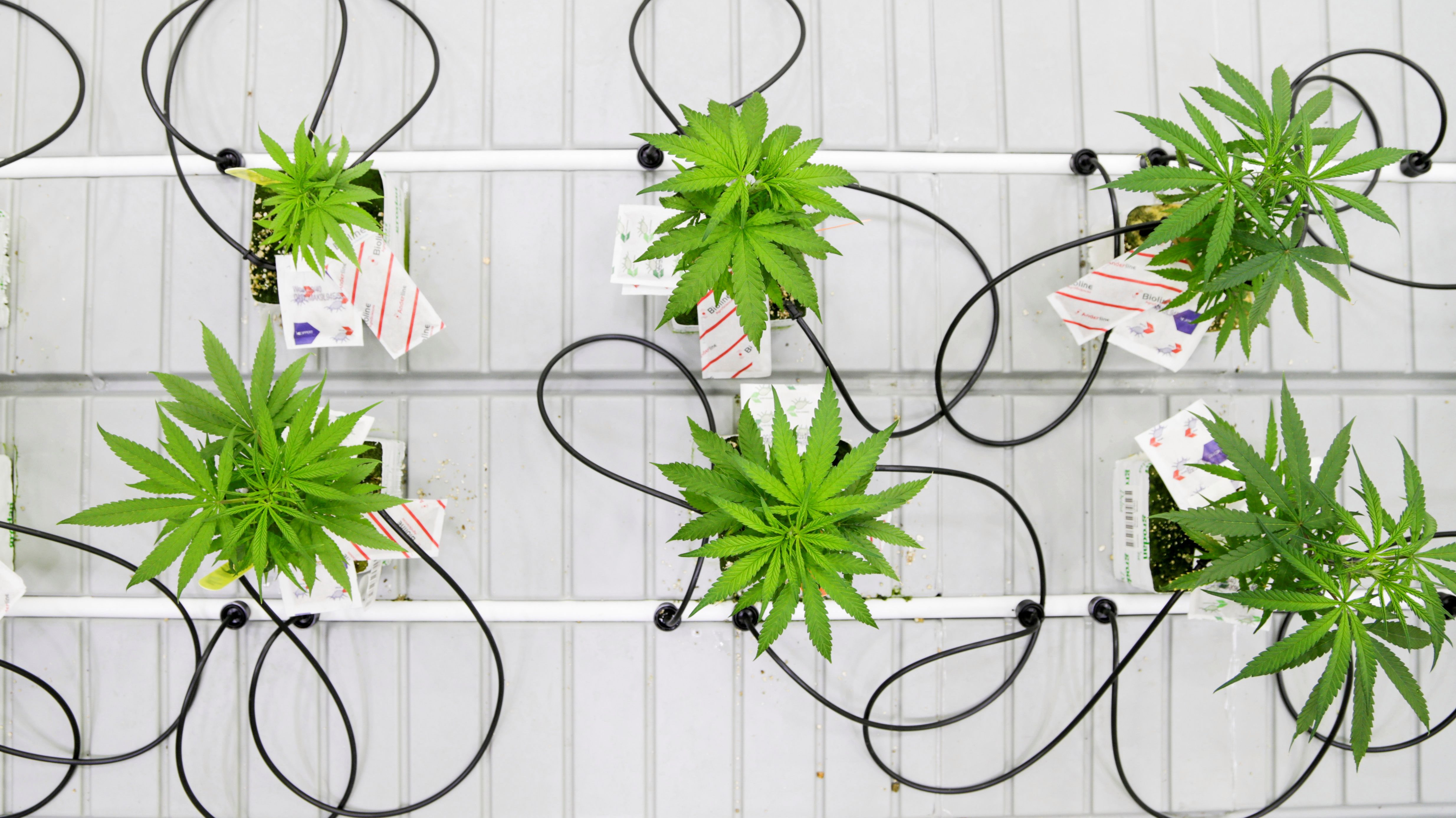 Small marijuana plants grow in a lab.