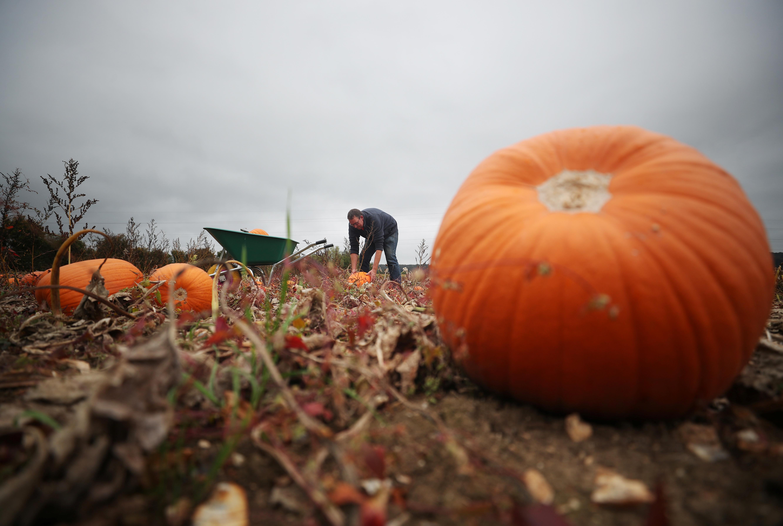 Farmer Charles Eckley inspects his pumpkin harvest in a field at Pumpkin Moon in Maidstone, Britain.
