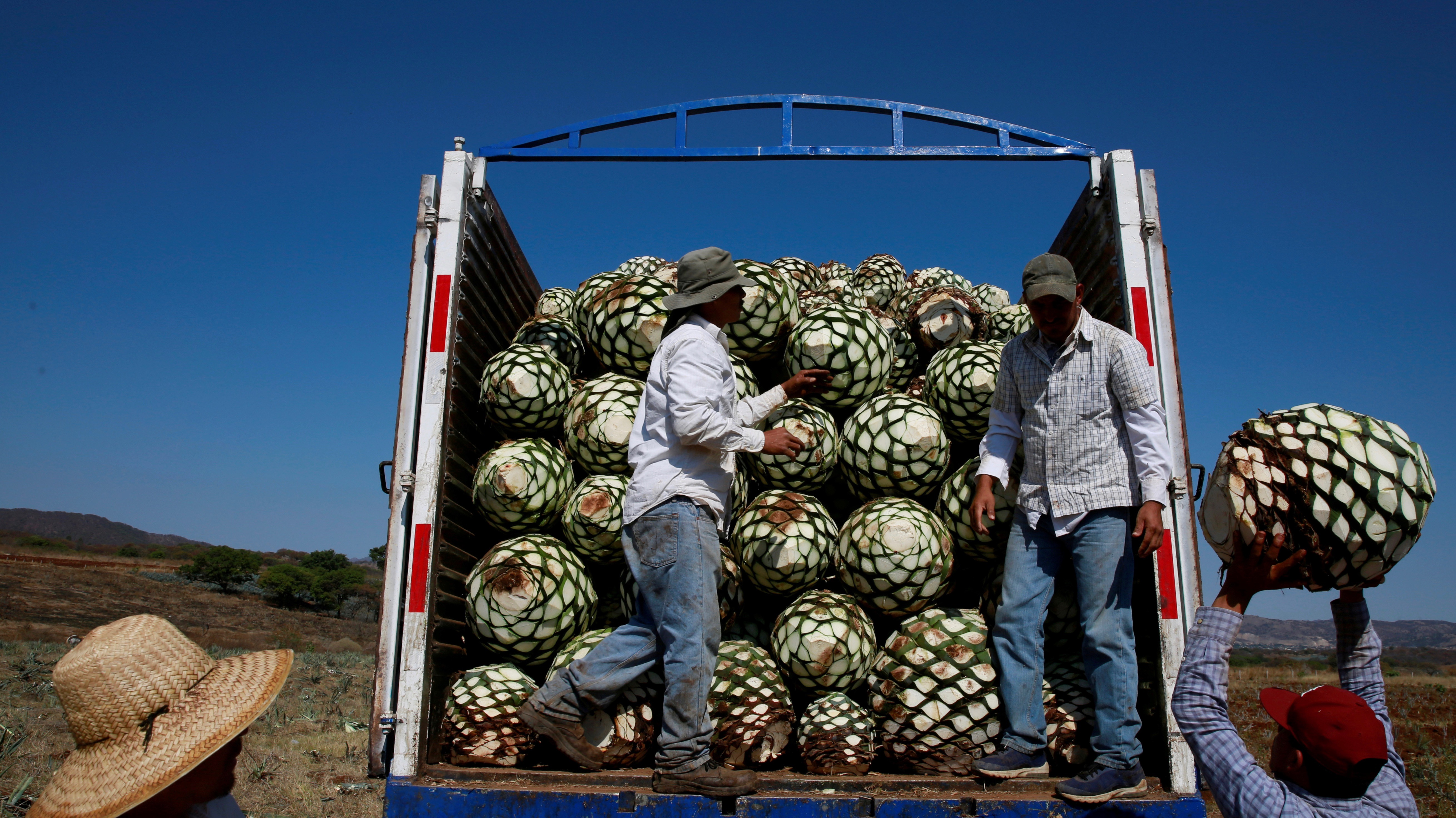 Teslaquila will need to gets its agave from Mexico.