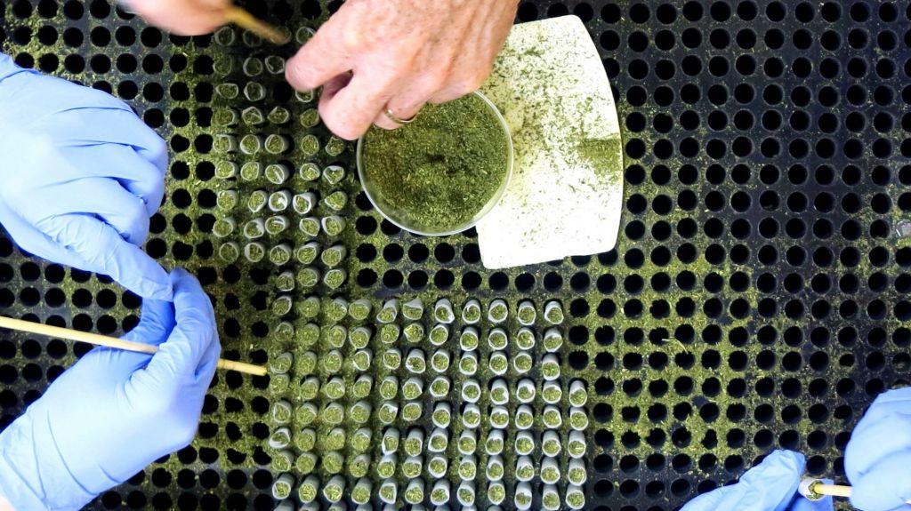 workers assemble pre-rolled cigarettes of hemp flower containing cannabidiol