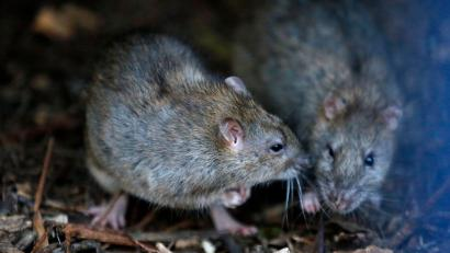 Hong Kong health authorities revealed that a strain of hepatitis that was previously only found in rats had infected a local resident.