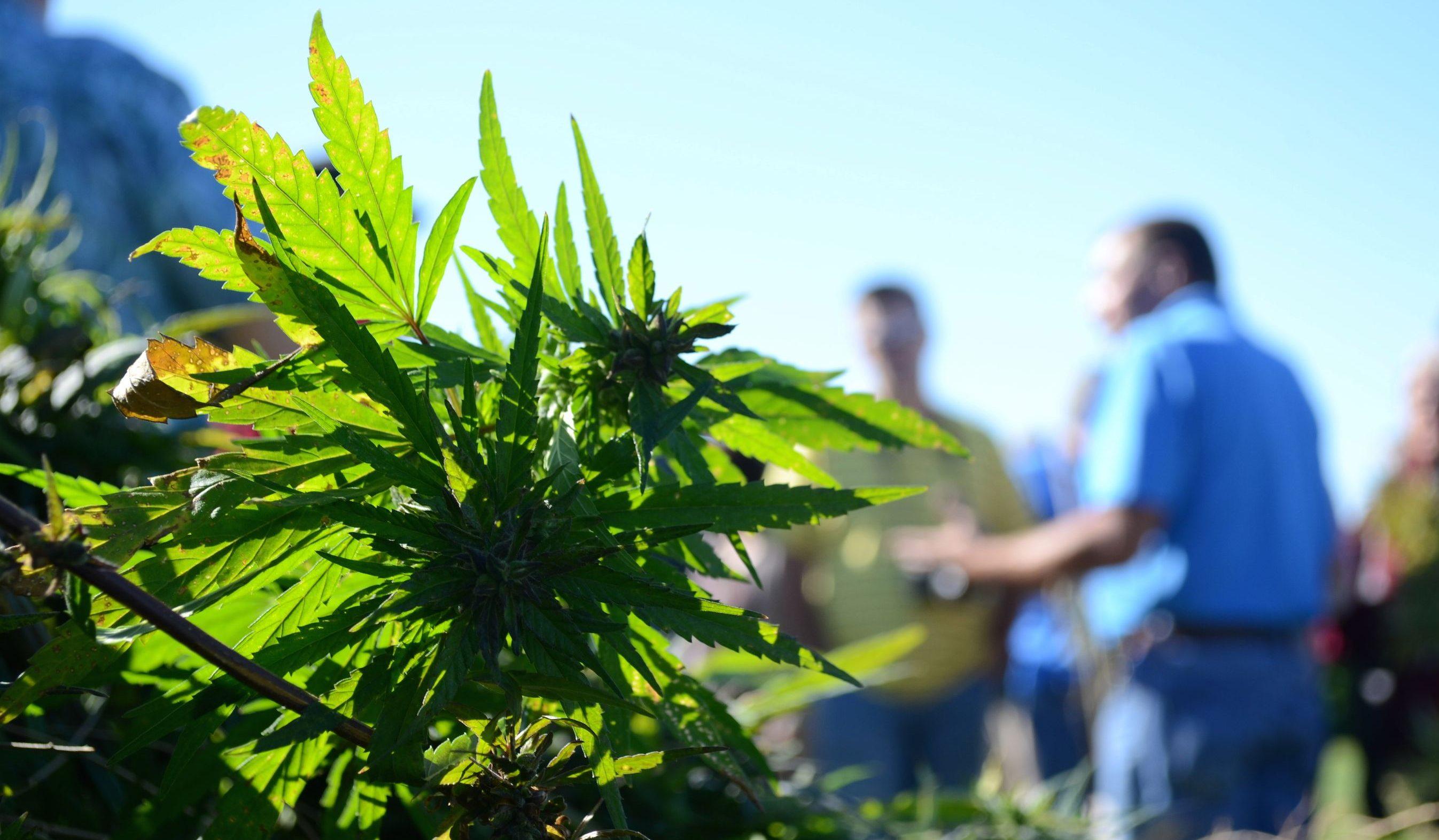 The 2018 Farm Bill could make hemp the next tobacco — Quartz