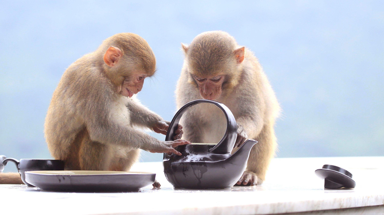 monkeys teapot