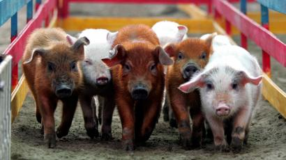 Five piglets walking in a hay trough with a red fence on their sides.