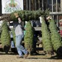 An employee carries a customer's freshly cut tree at the Snickers Gap Christmas Tree Farm in Round Hill, Virginia December 6, 2015. Snickers Gap is a 35 year-old family owned operation that currently has 36,000 Christmas trees planted on forty acres in rural Virginia outside of Washington. Picture taken December 6, 2015. REUTERS/Gary Cameron - GF10000258967