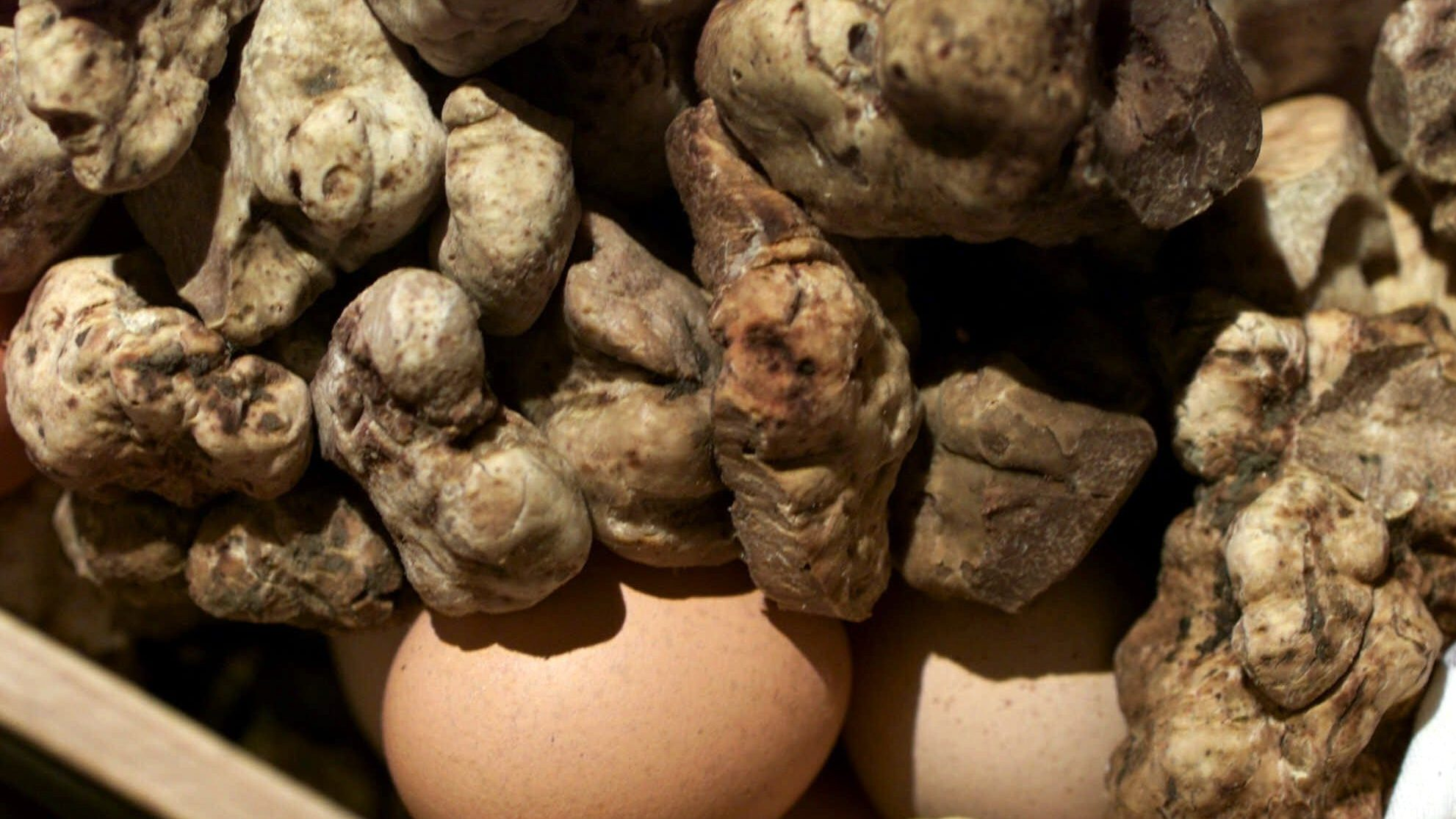 It's a great year for white truffles, the unpredictable delicacy