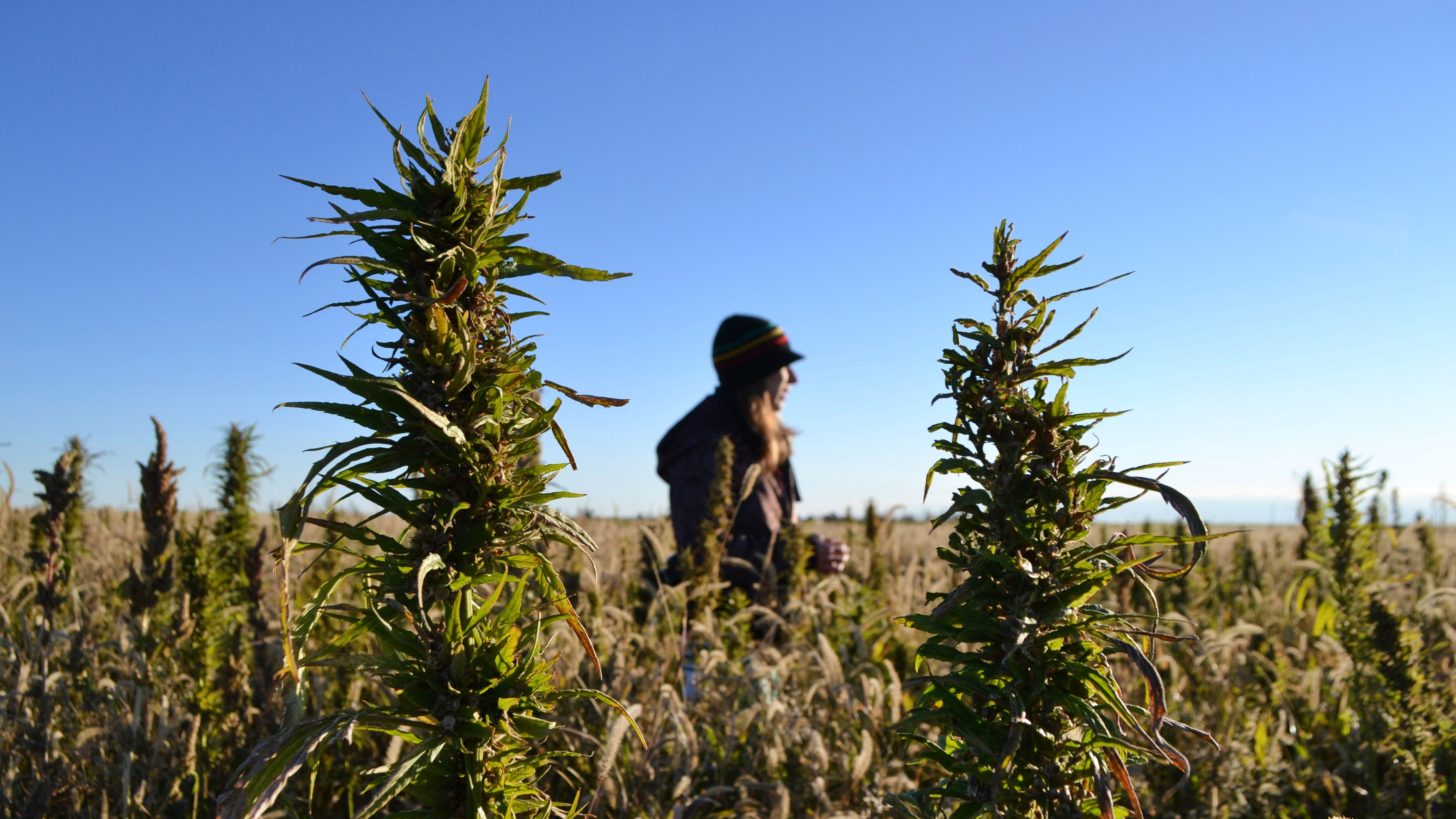 CBD from industrial hemp will be legal in US under 2018 Farm