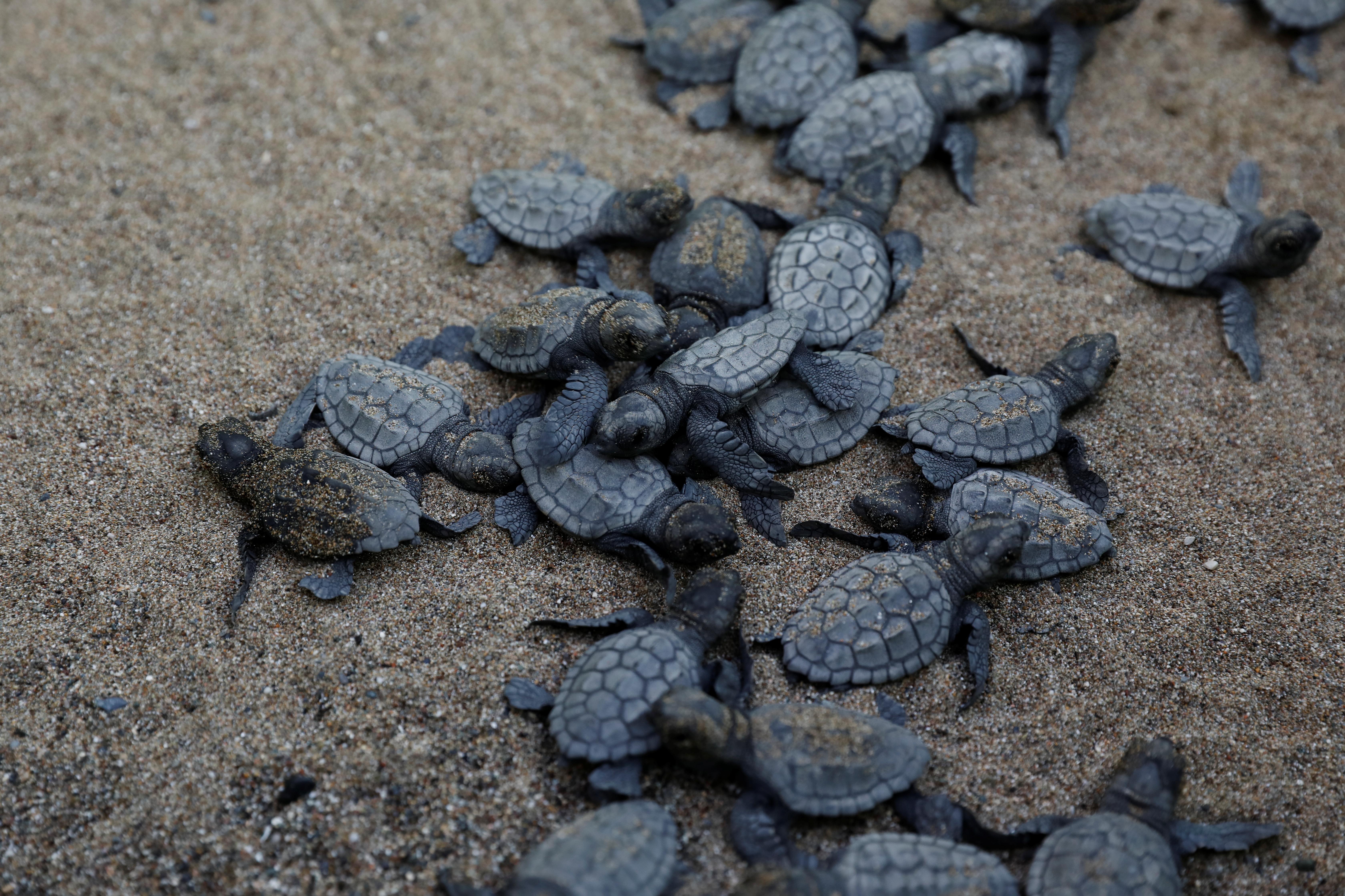 Baby sea turtles.