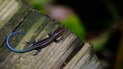 Lizards-stripes-motion-dazzle-science