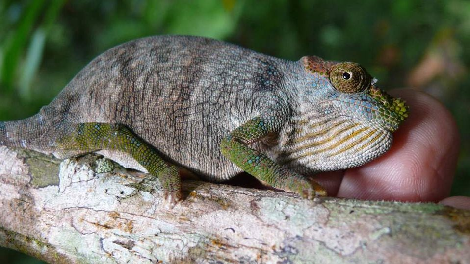 The Magombera chameleon species, discovered in Tanzania.