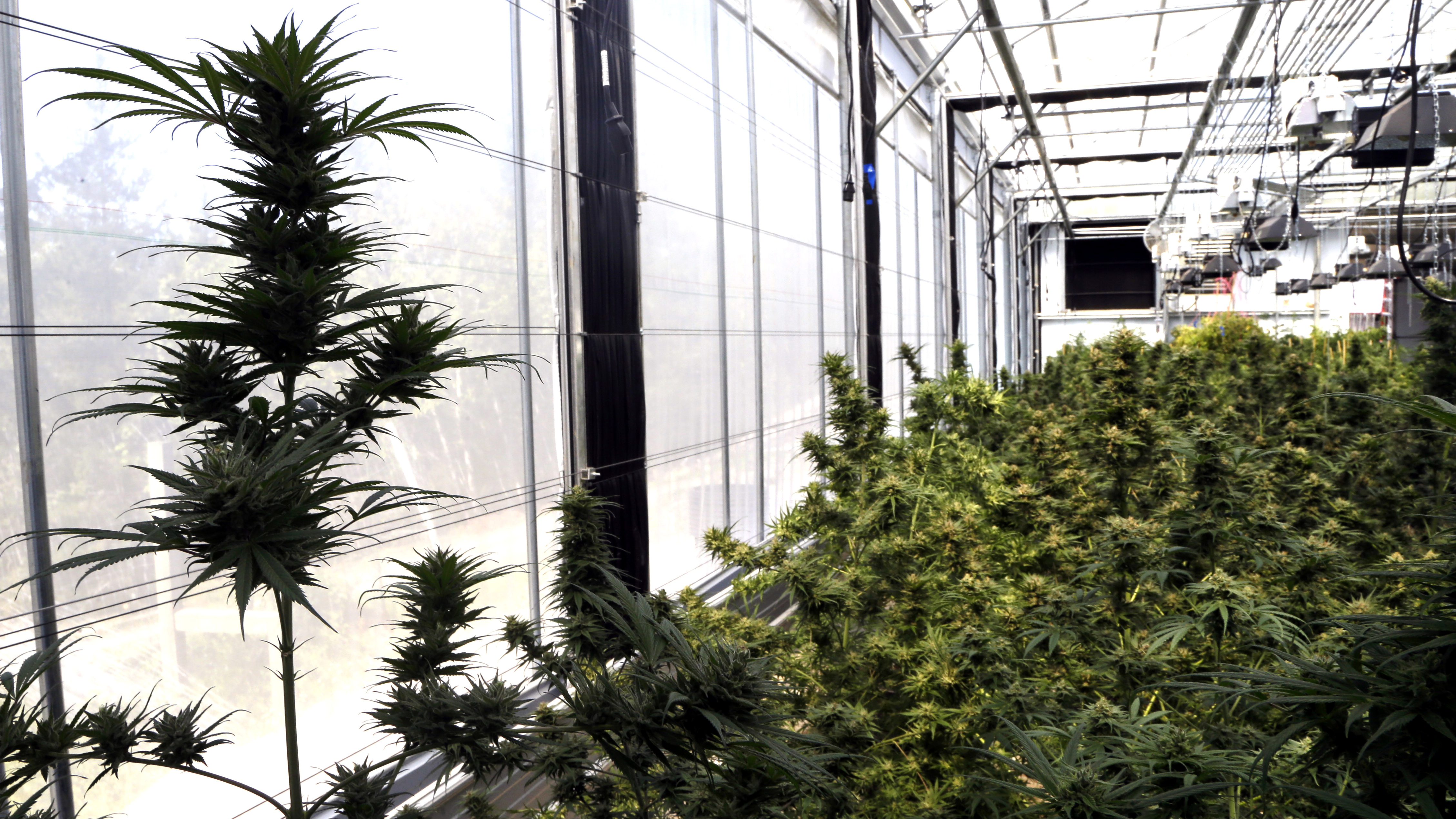 FILE - In this April 24, 2018, file photo, marijuana plants are shown at a facility in Springfield, Ore.