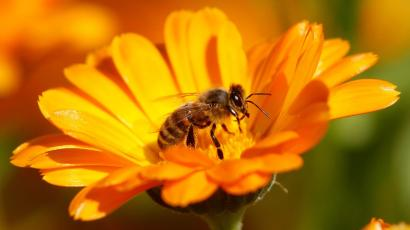 A bee sitting on a Marigold flower in a field of a private plantation near the village of Pishchalovo
