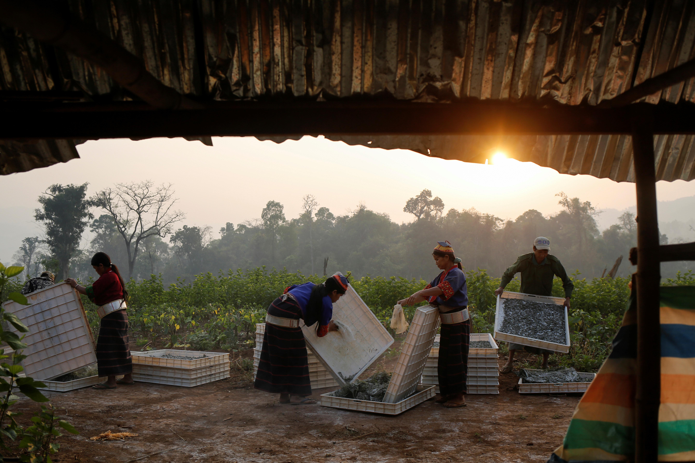 Silkworm cultivation in Myanmar.