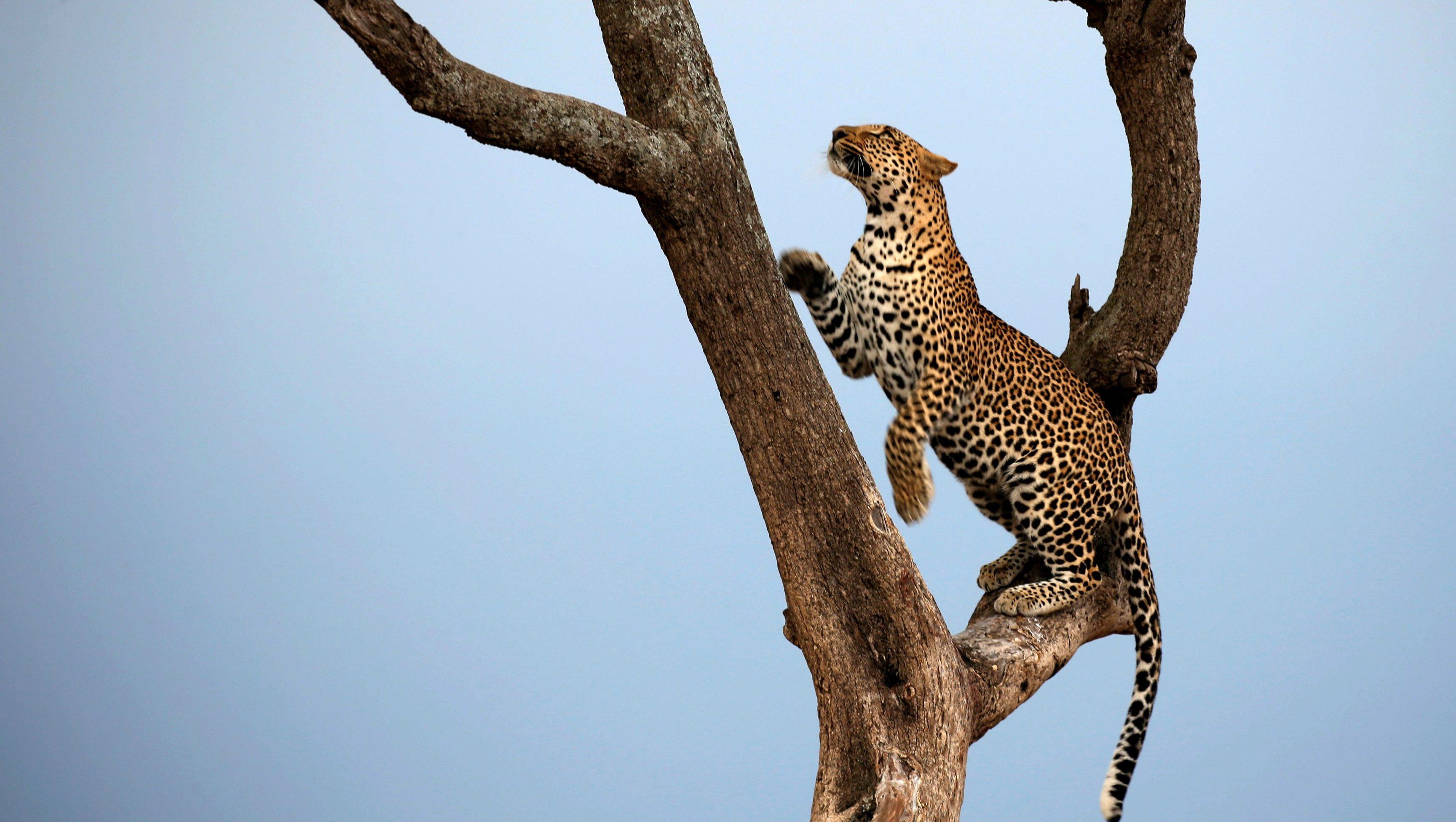 A leopard climbs a tree in Maasai Mara National Reserve, Kenya September 17, 2016.