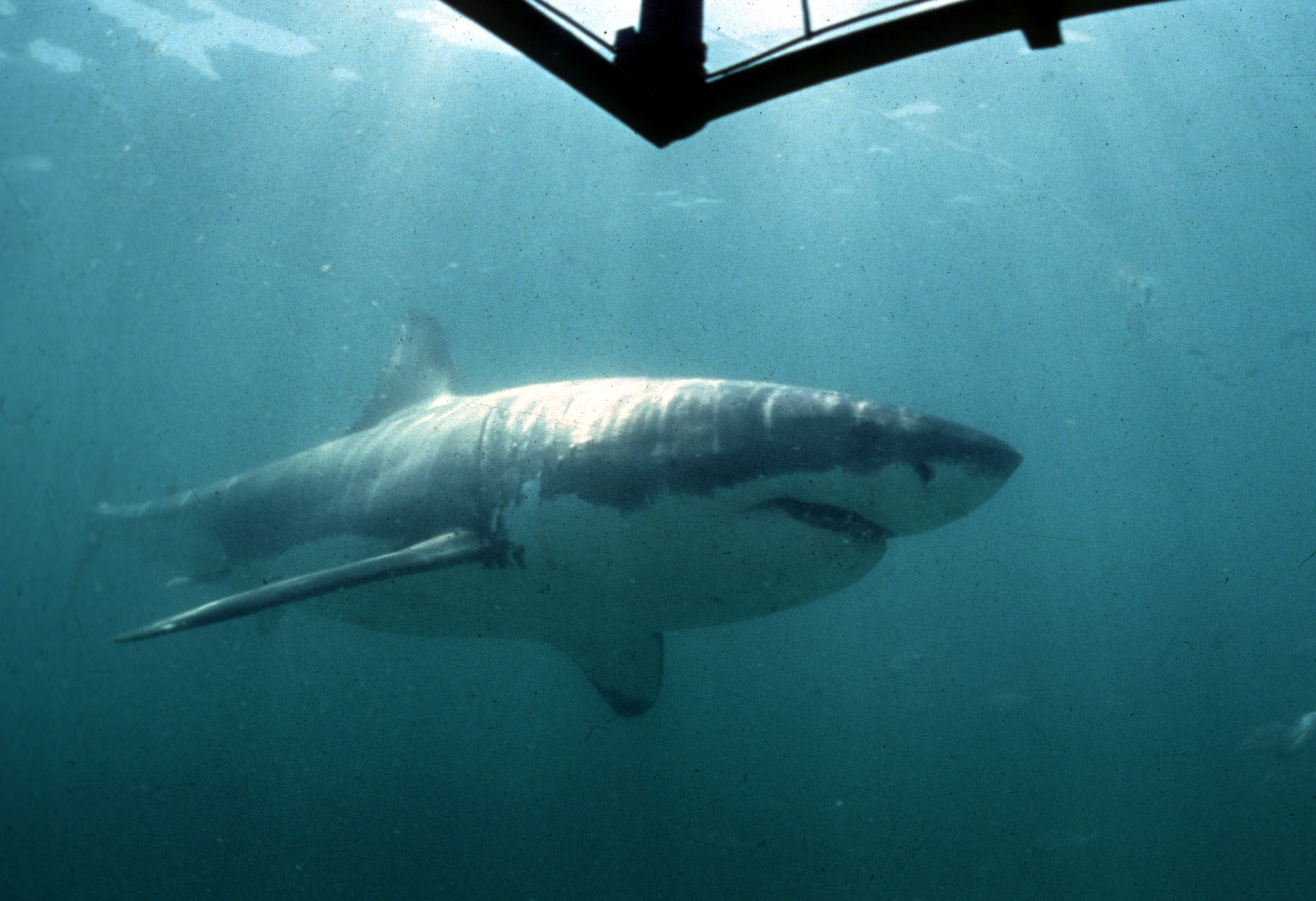 a great white shark, the new suspect in the megalodon's extinction