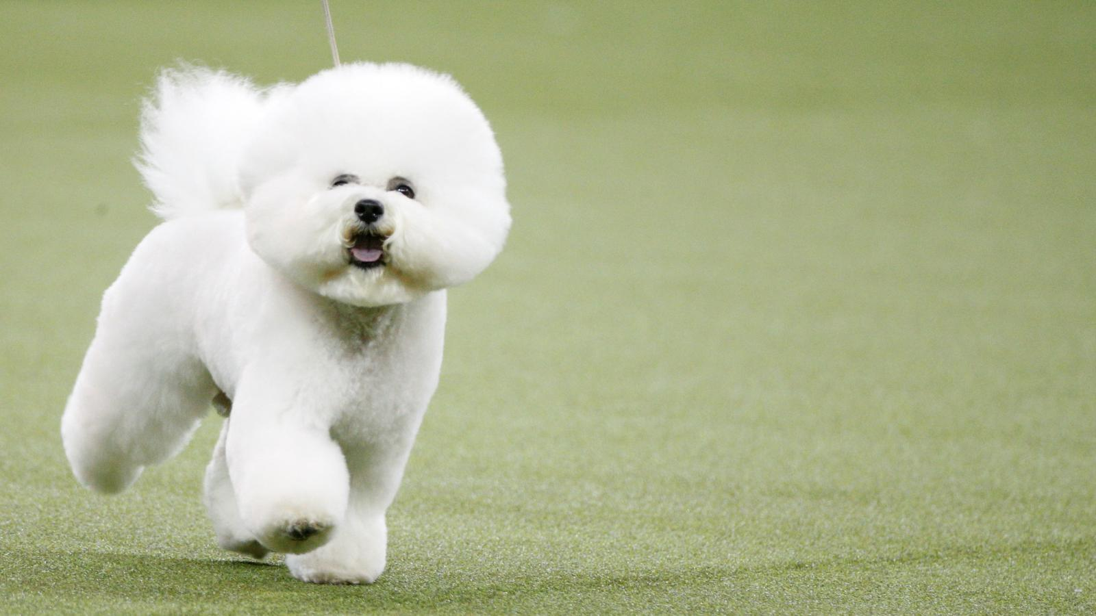 Watch Westminster Dog Show 2020.Your Westminster Kennel Club Dog Show 2019 Fact Sheet Quartz