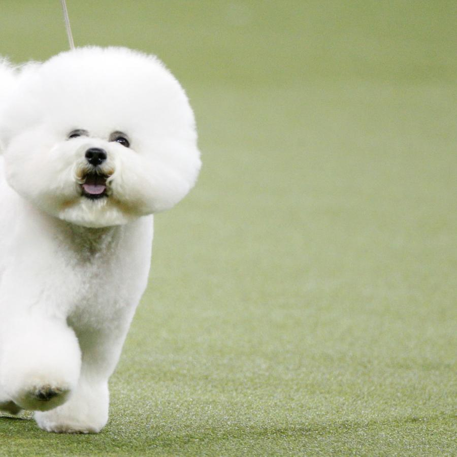 Your Westminster Kennel Club Dog Show 2019 fact sheet — Quartz
