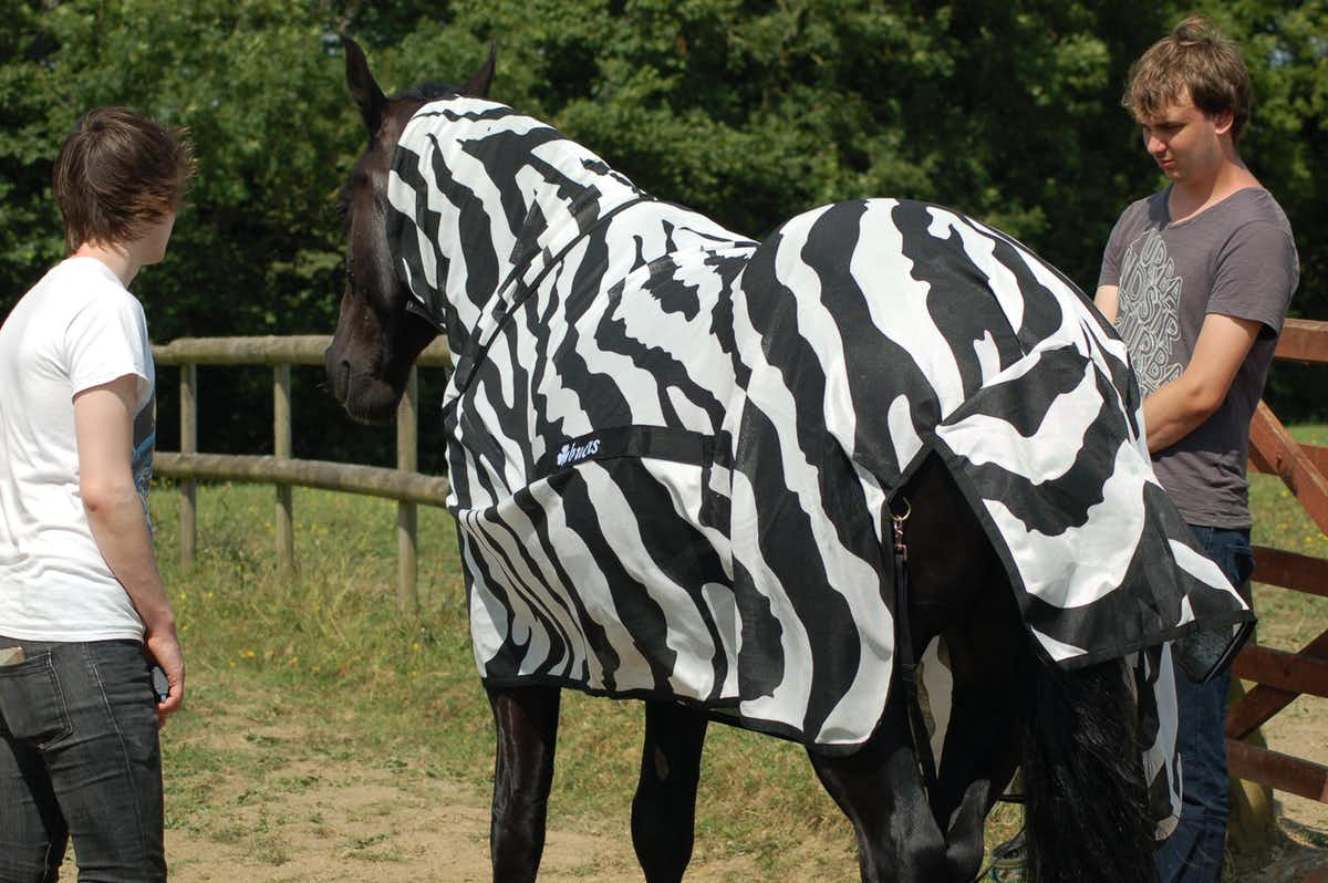 Horse wearing zebra coat