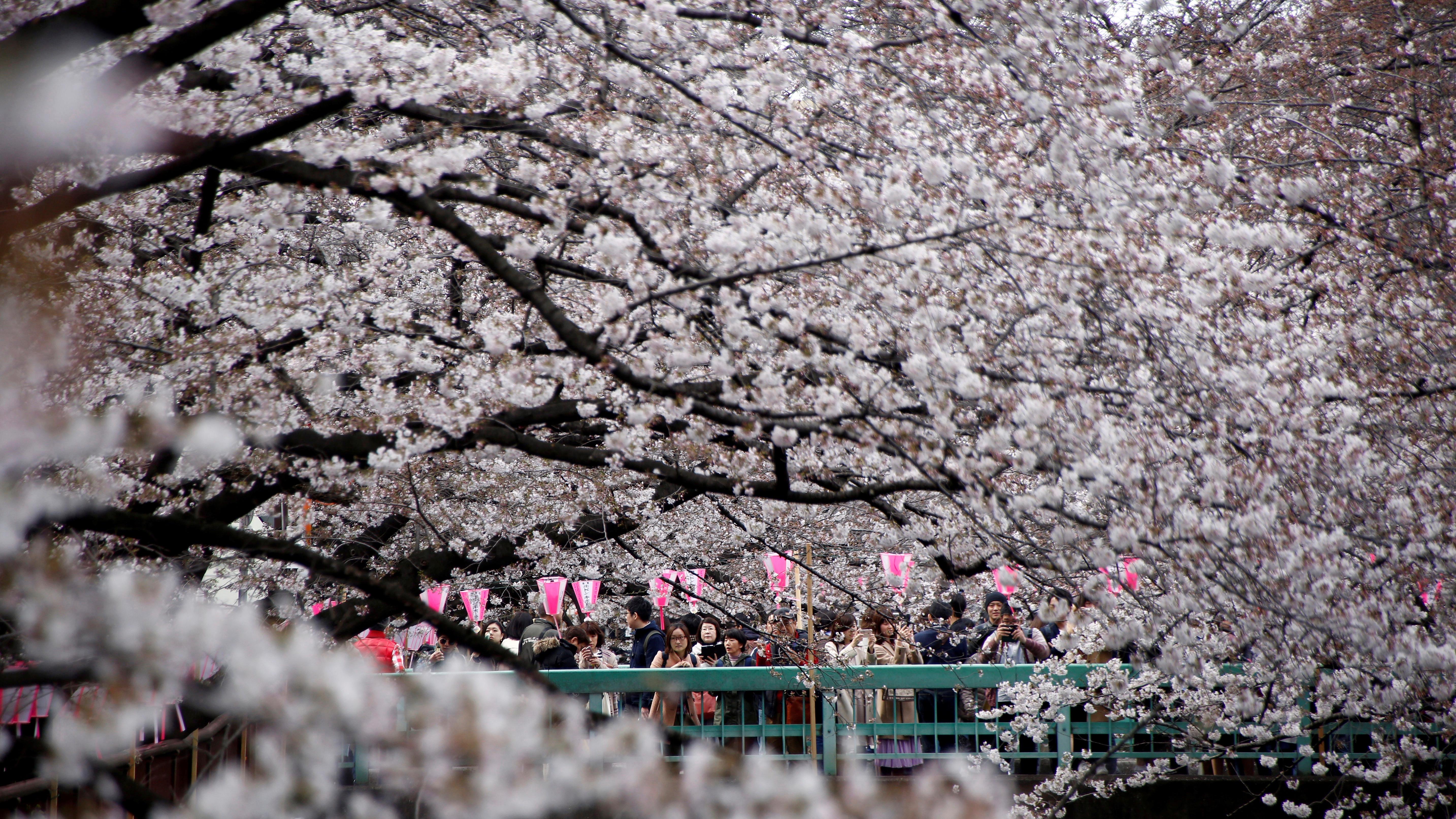 How Japan predicts the dates for its 2019 cherry blossom season — Quartz