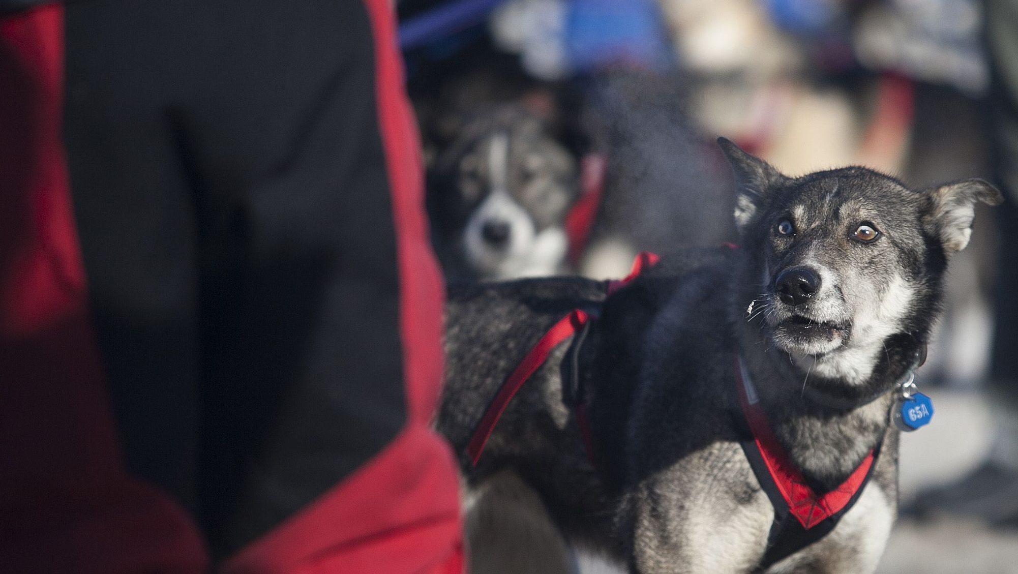 Iditarod leader yells at dogs, blows lead — Quartz at Work