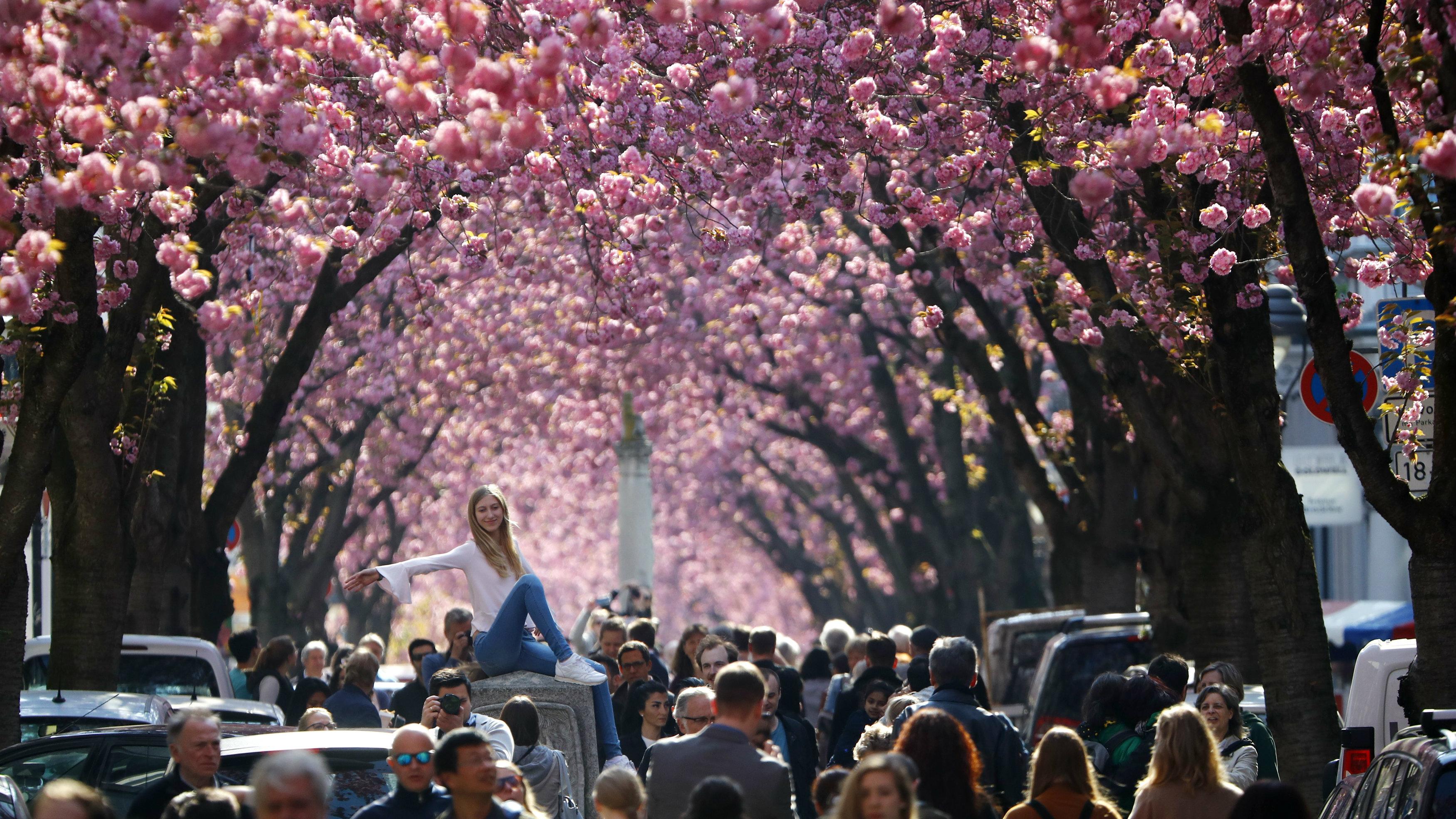 Cherry Blossom tourist