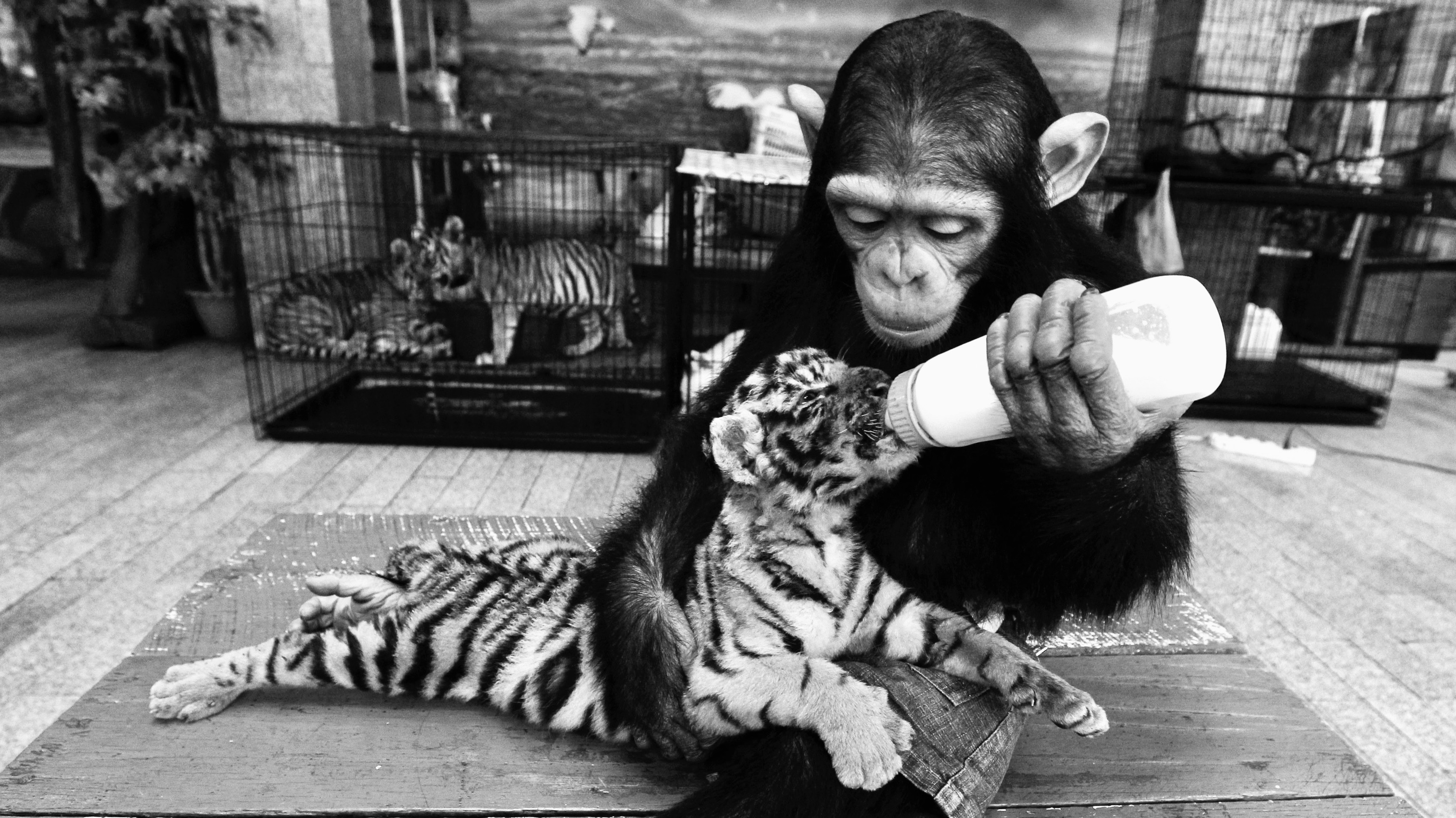 A two-year-old chimpanzee feeds milk to a 60-day-old tiger cub in Thailand.
