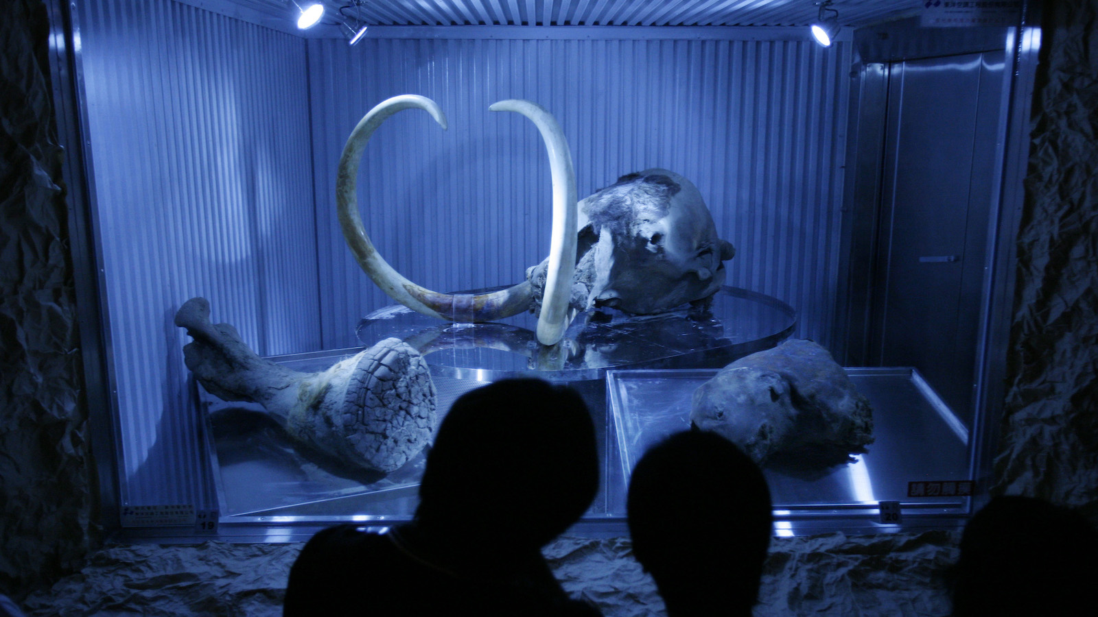 frozen woolly mammoth exhibit
