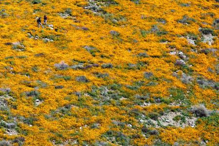 Walker Canyon poppy fields