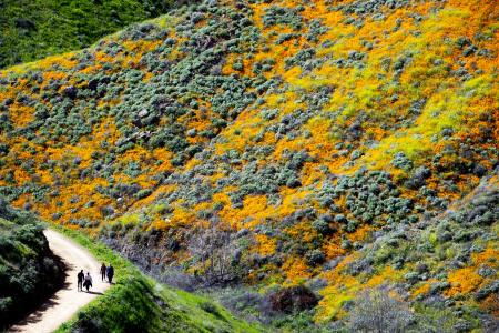 A trail through the poppies